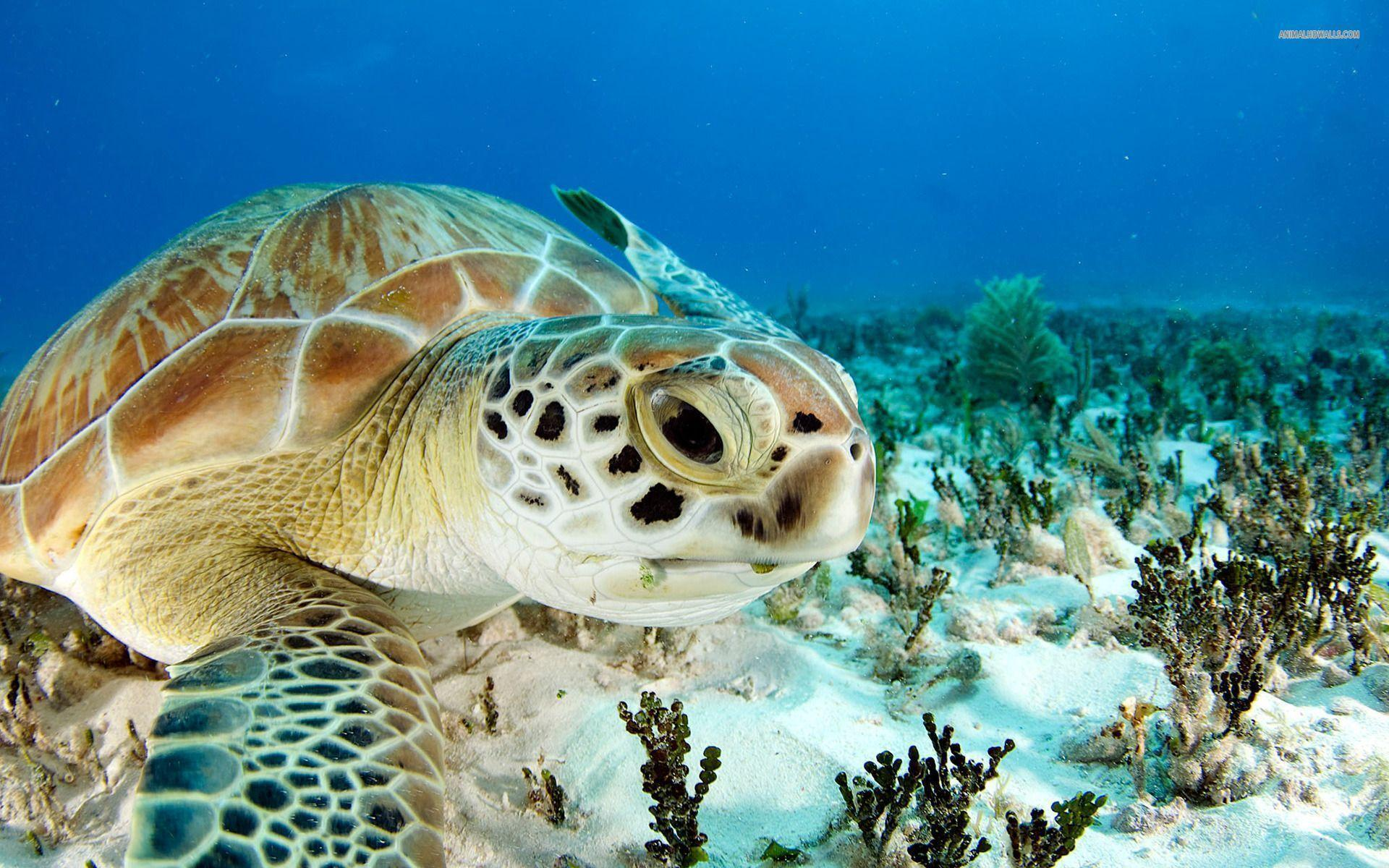 Sea turtle wallpapers #