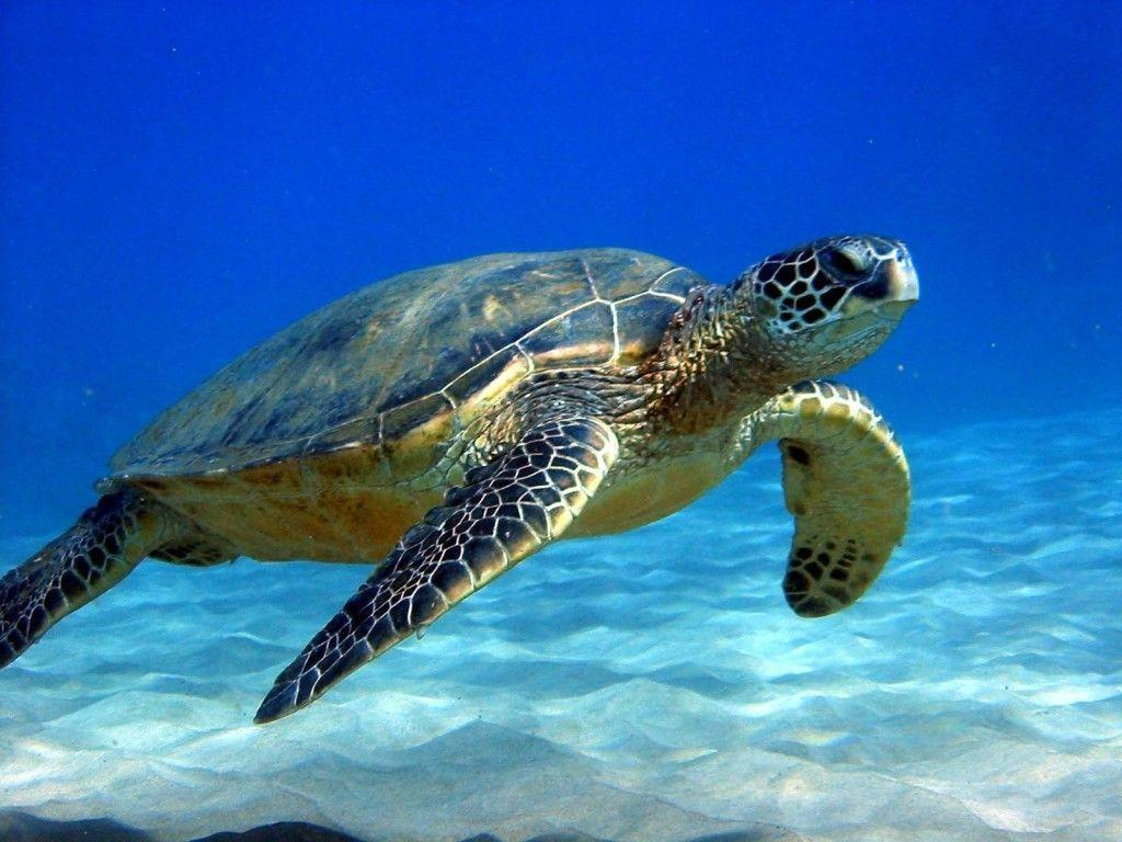 Turtle HD Wallpapers