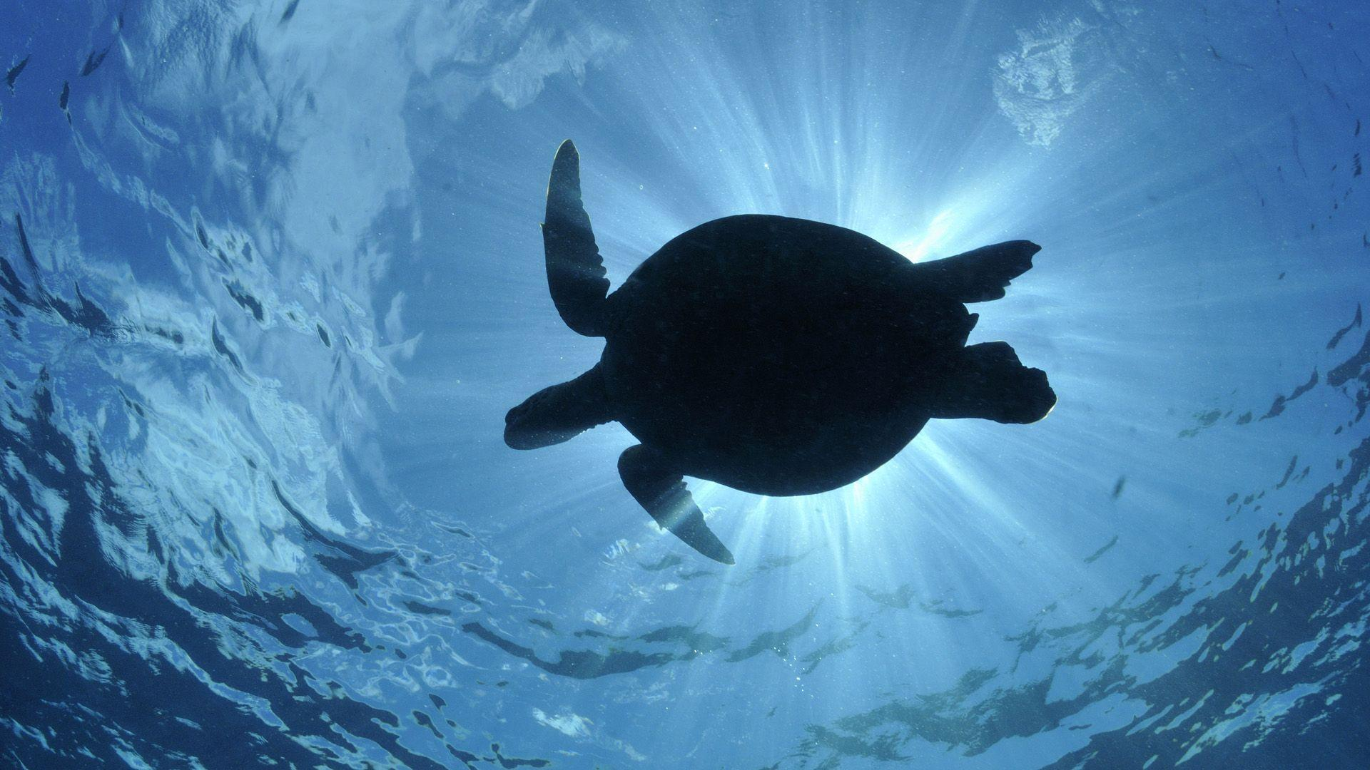 191 Turtle Wallpapers