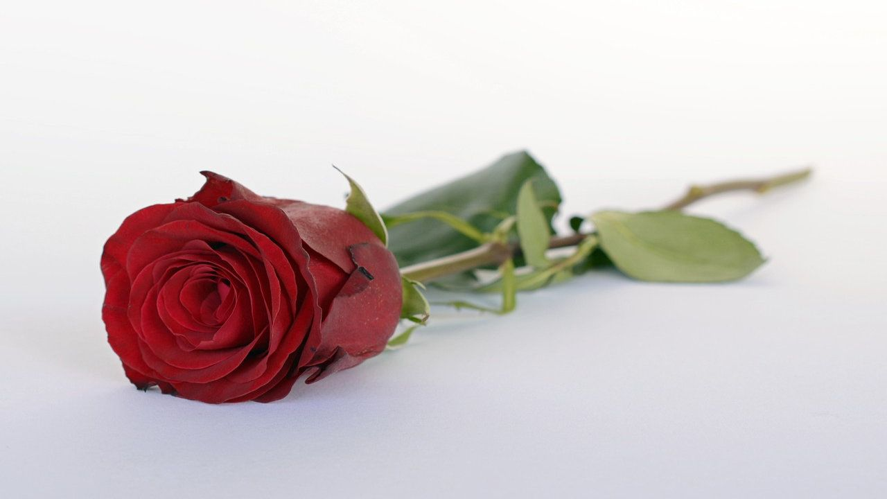 100 Happy Rose Day Photos, Wallpapers Image 2019