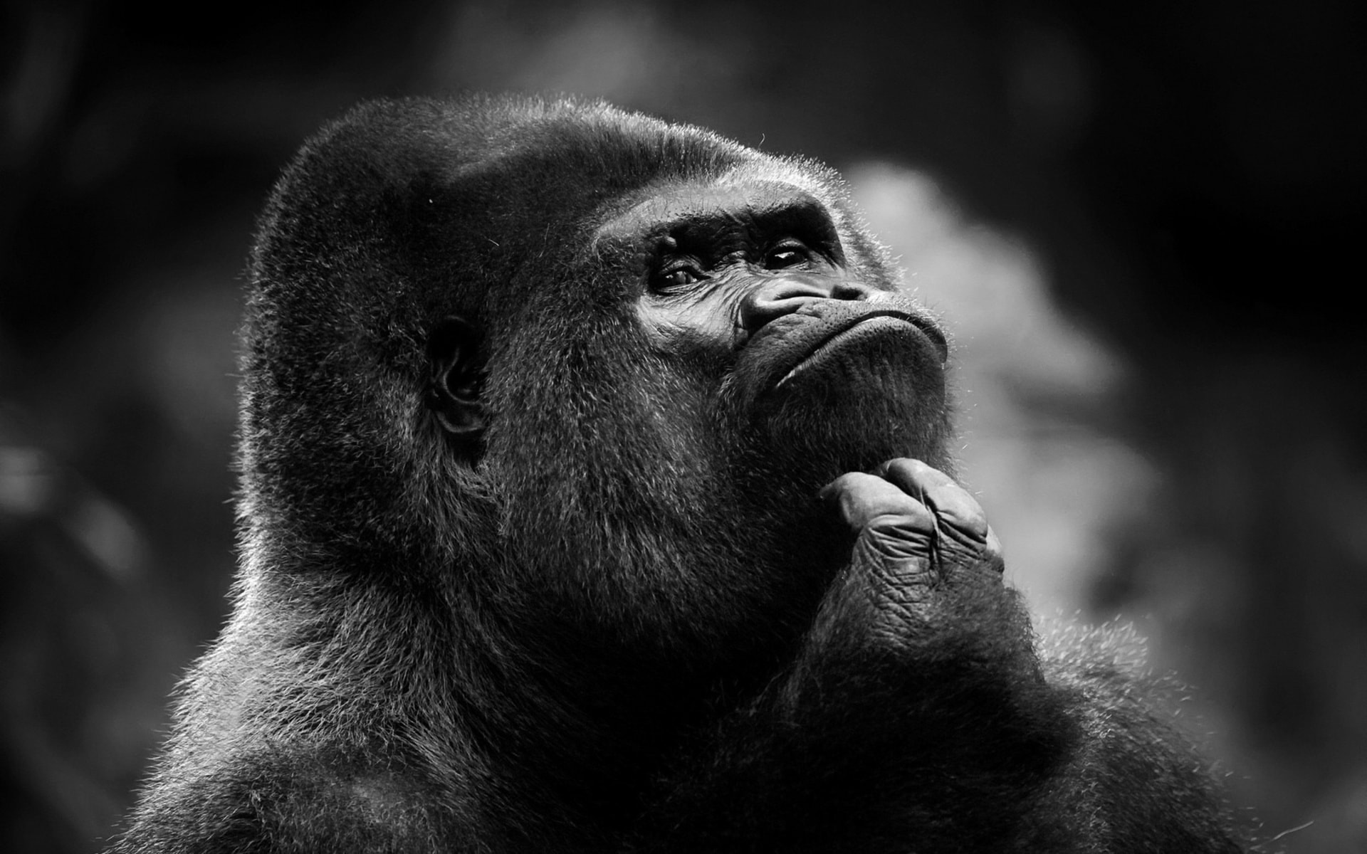 Gorilla HD Wallpapers