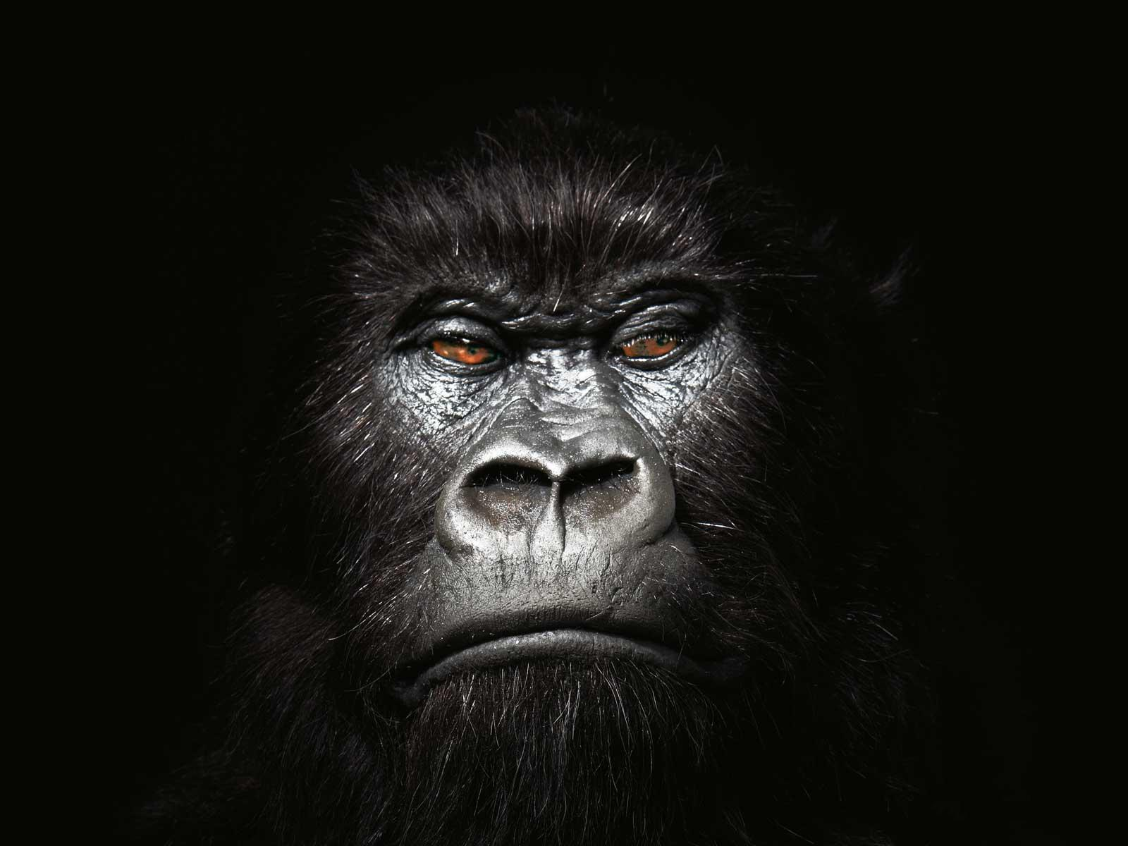 Gorilla Wallpapers 20
