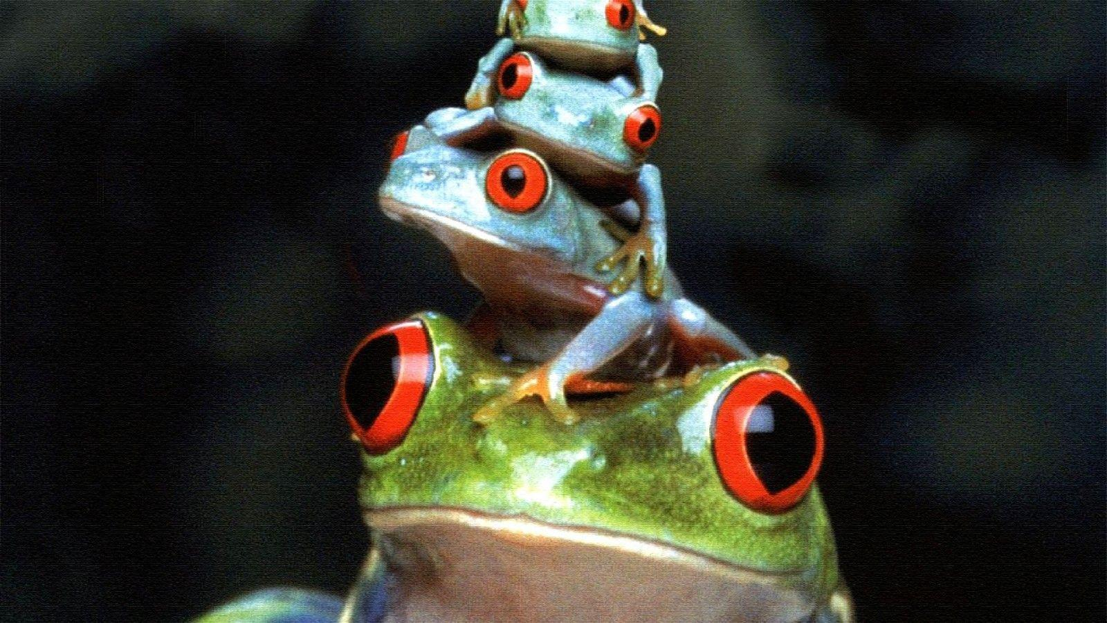 10 Red Eyed Tree Frog Wallpapers
