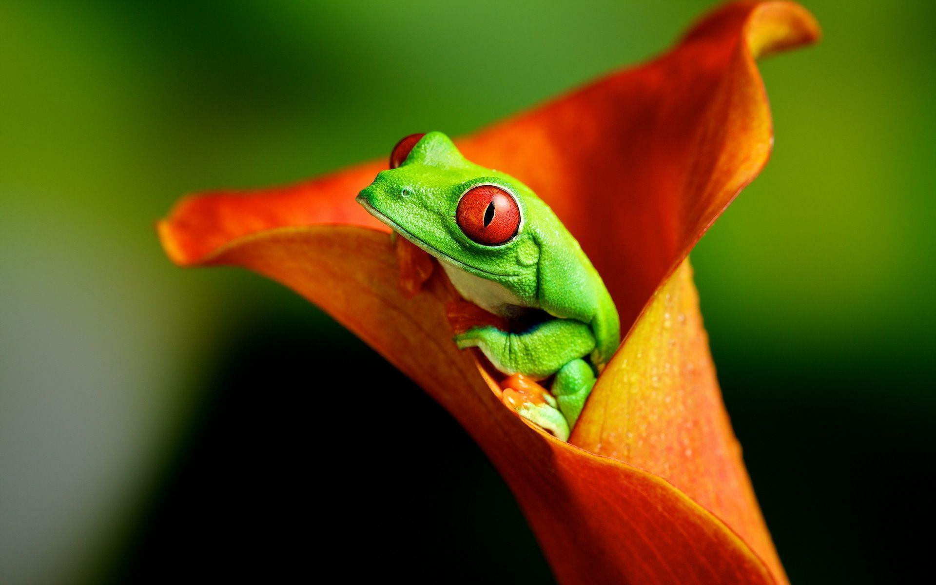 Frog Wallpapers 11916 1920x1200 px