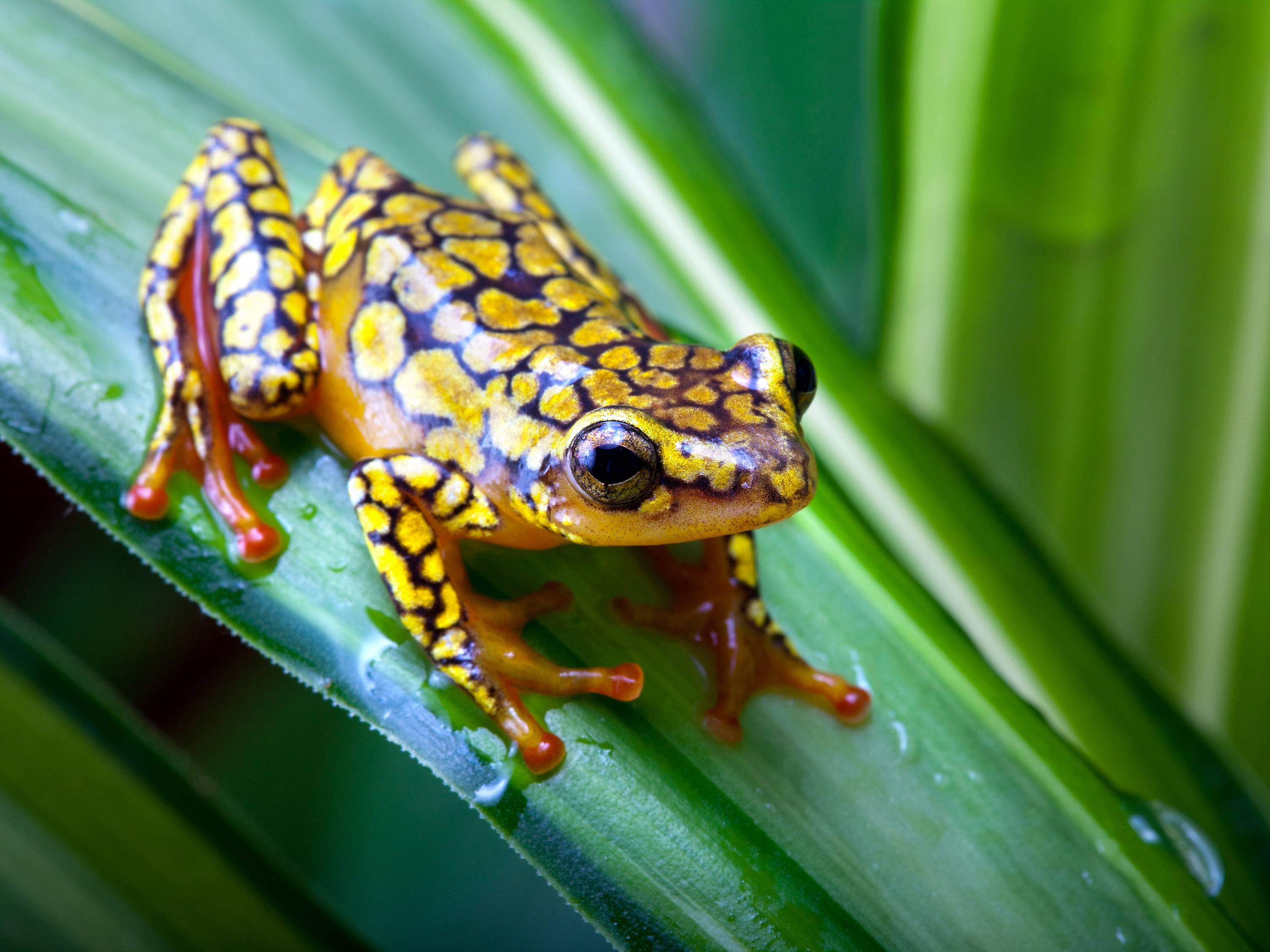 Download Frog Wallpapers 11921 3000x2250 px High Resolution