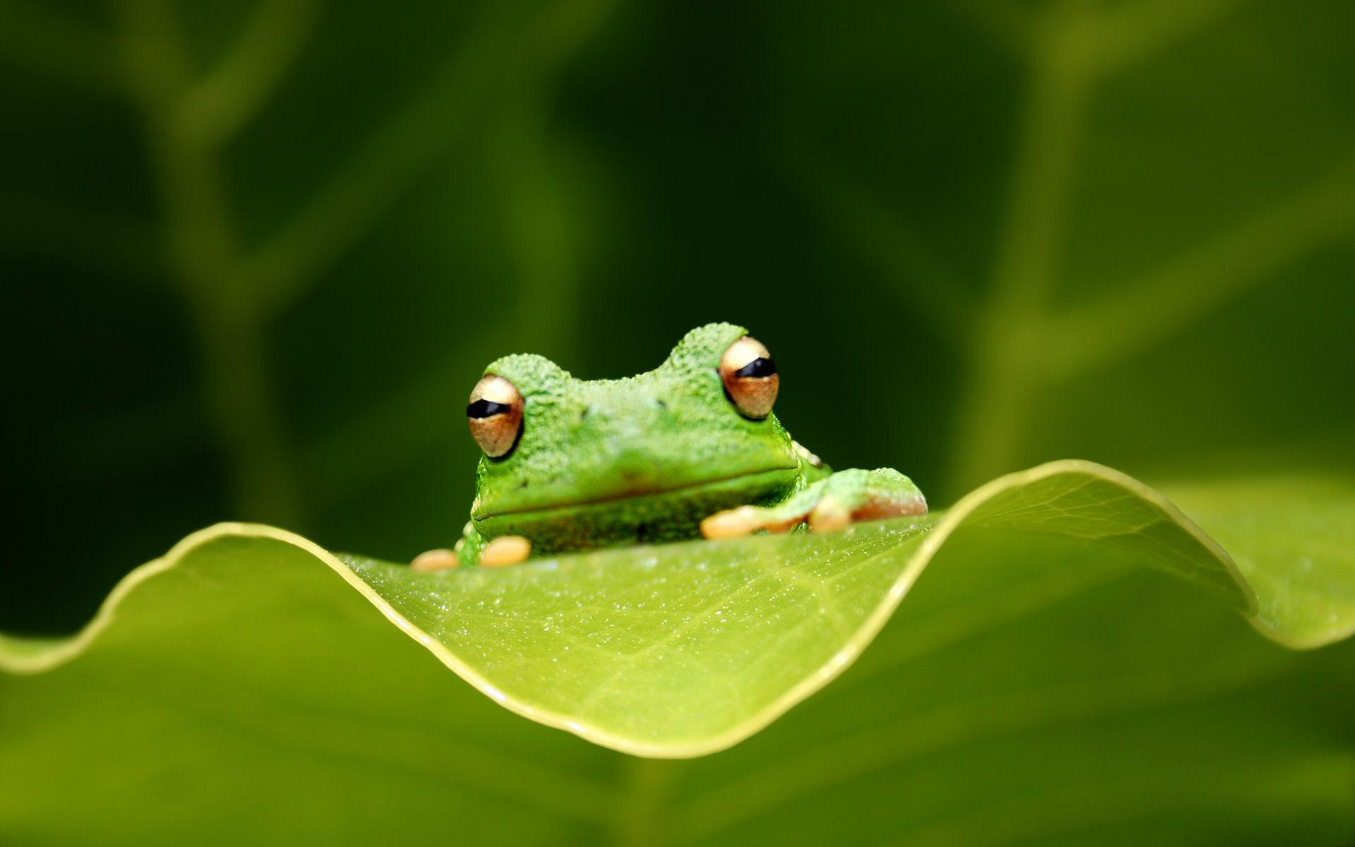 Green Frog HD Wallpapers