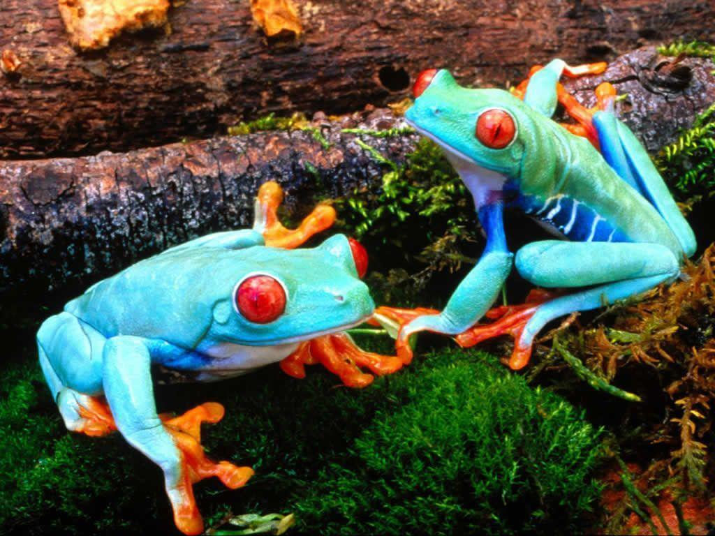 Frog PC Android Wallpapers 1024x768PX ~ Wallpapers Frog