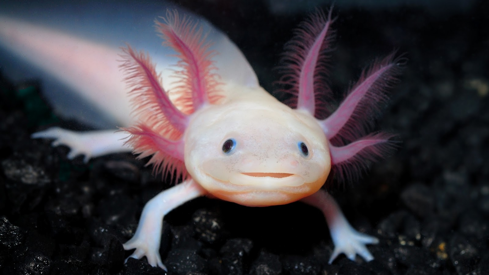 Mexican Salamander Also Known As The Mexican Walking Fish