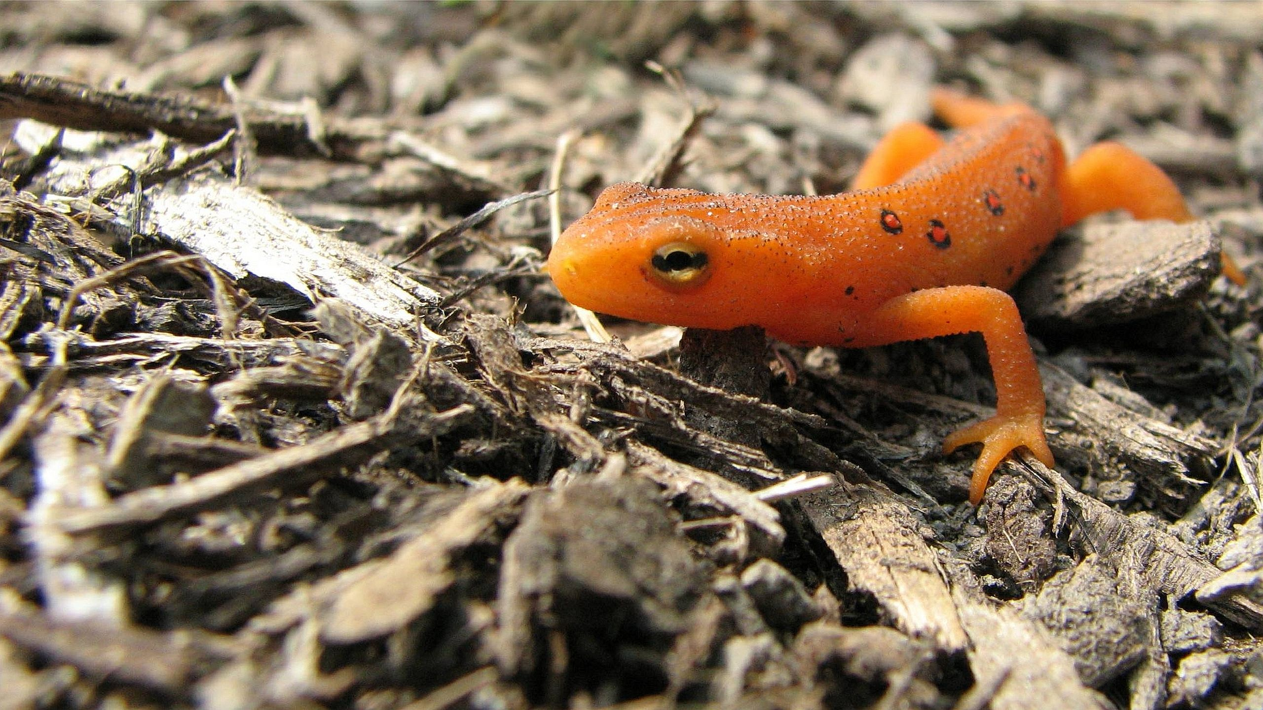 Eastern Newt HD Wallpapers
