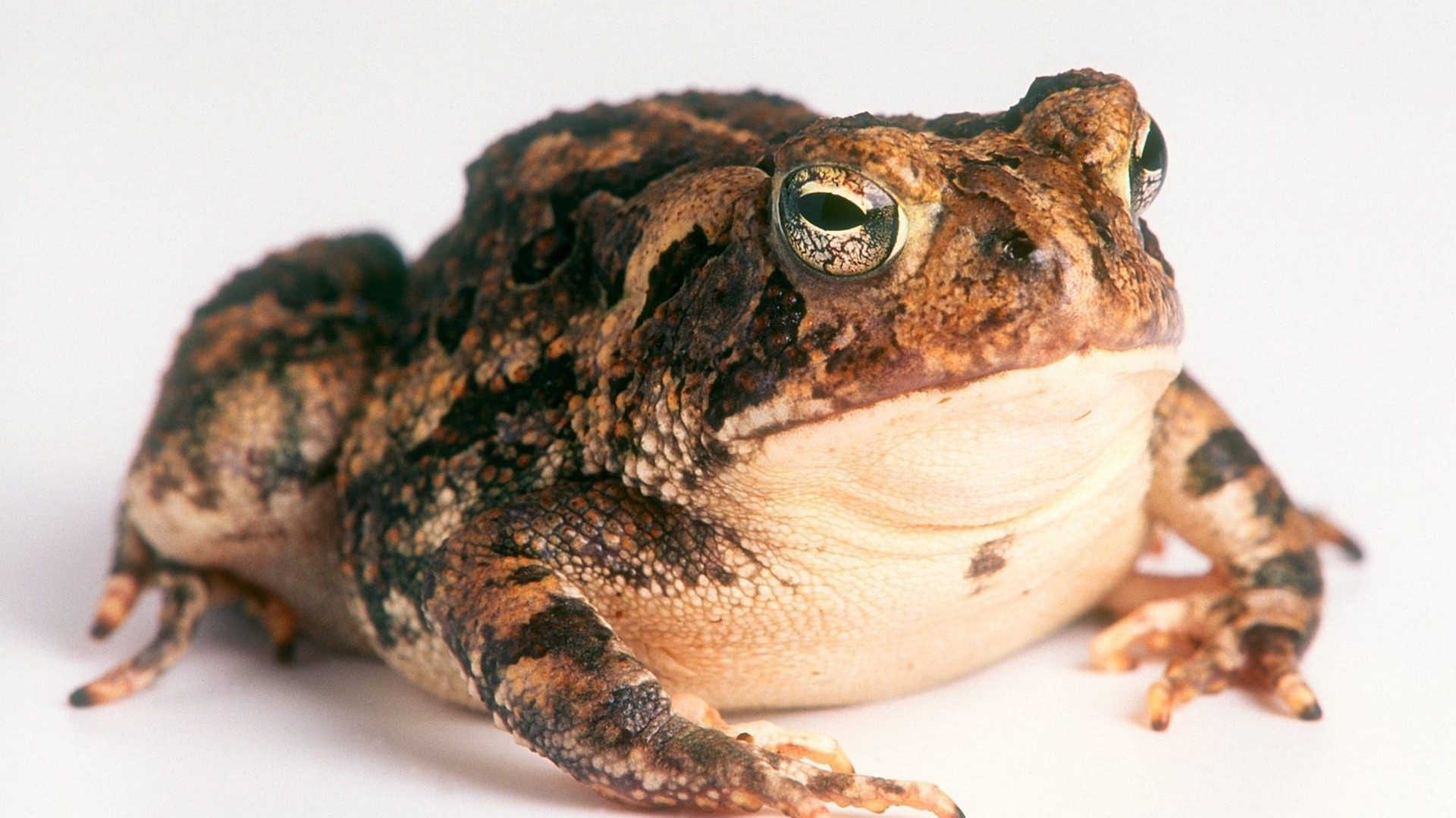 amphibians toads 1920x1080 wallpapers High Quality Wallpapers