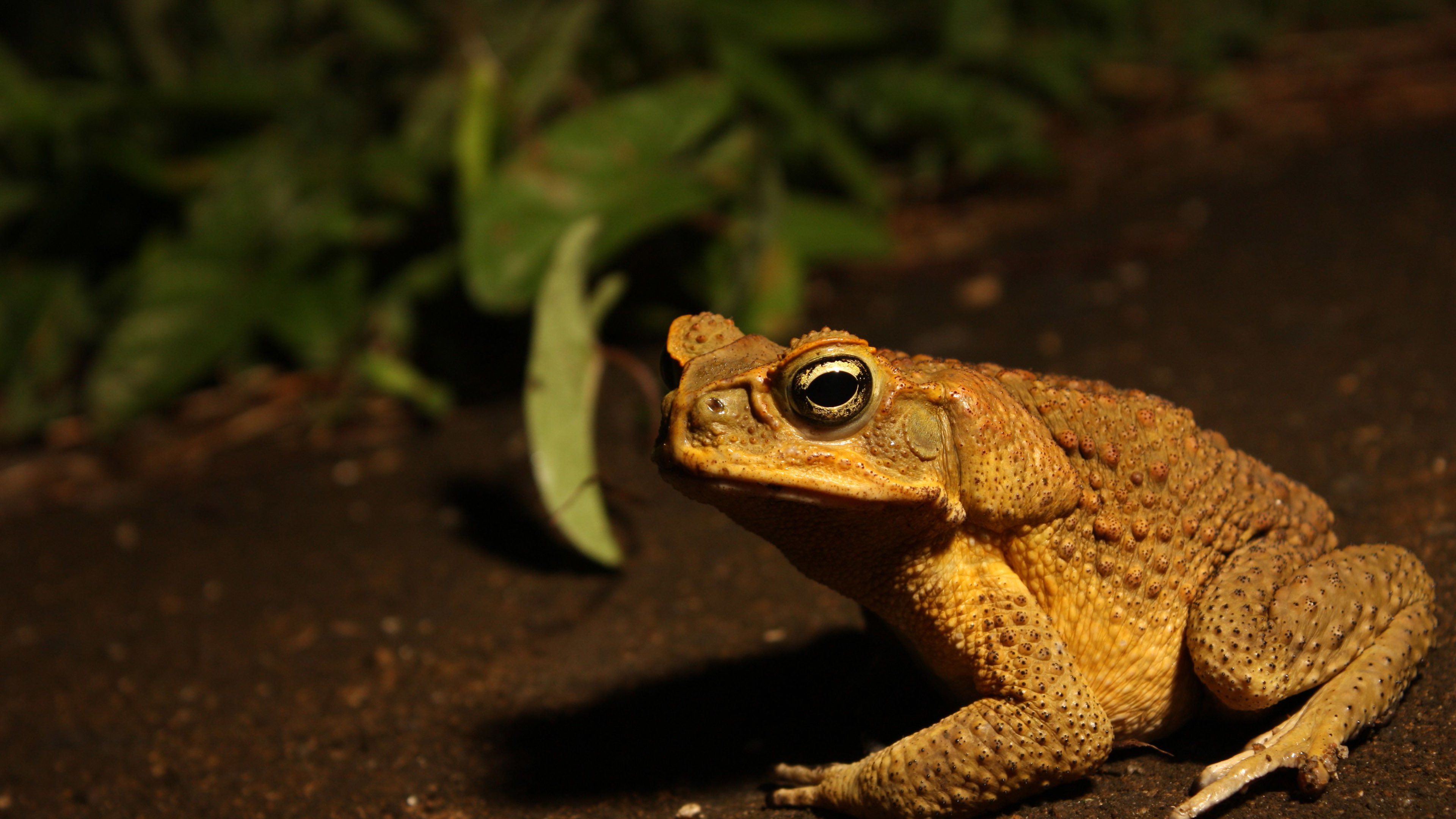 Toad on the sand 4k animal desktop wallpapers 25613 Wallpapers