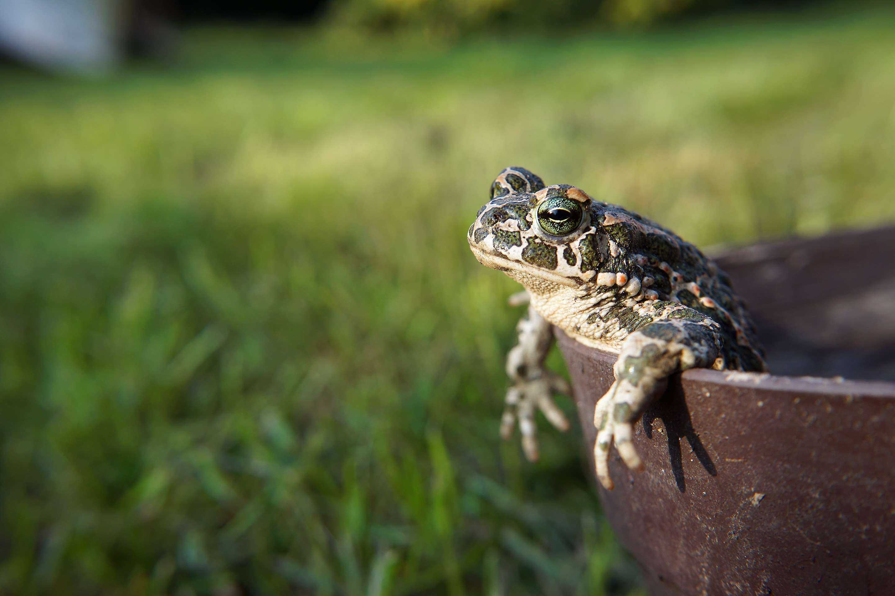 amphibians, animal, frog, nature, toad wallpapers