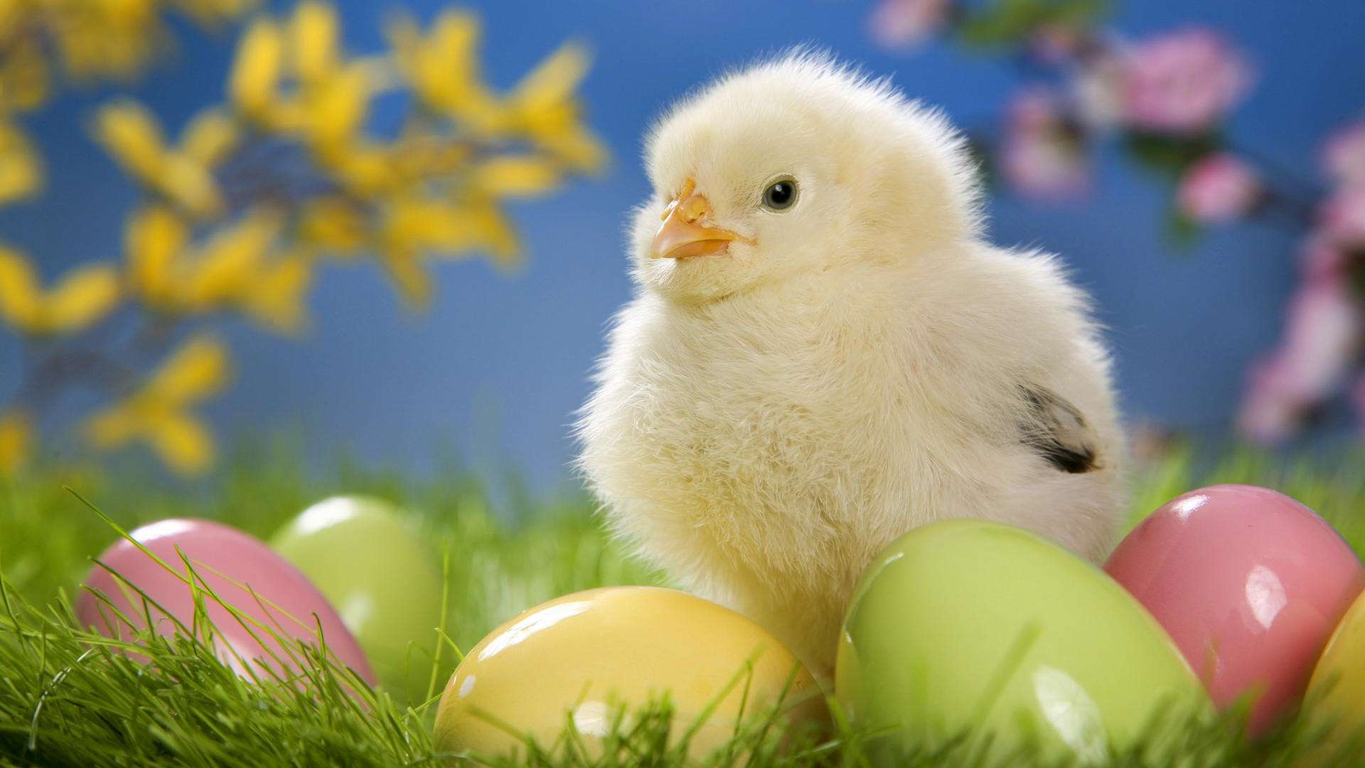 16382 easter chick wallpapers
