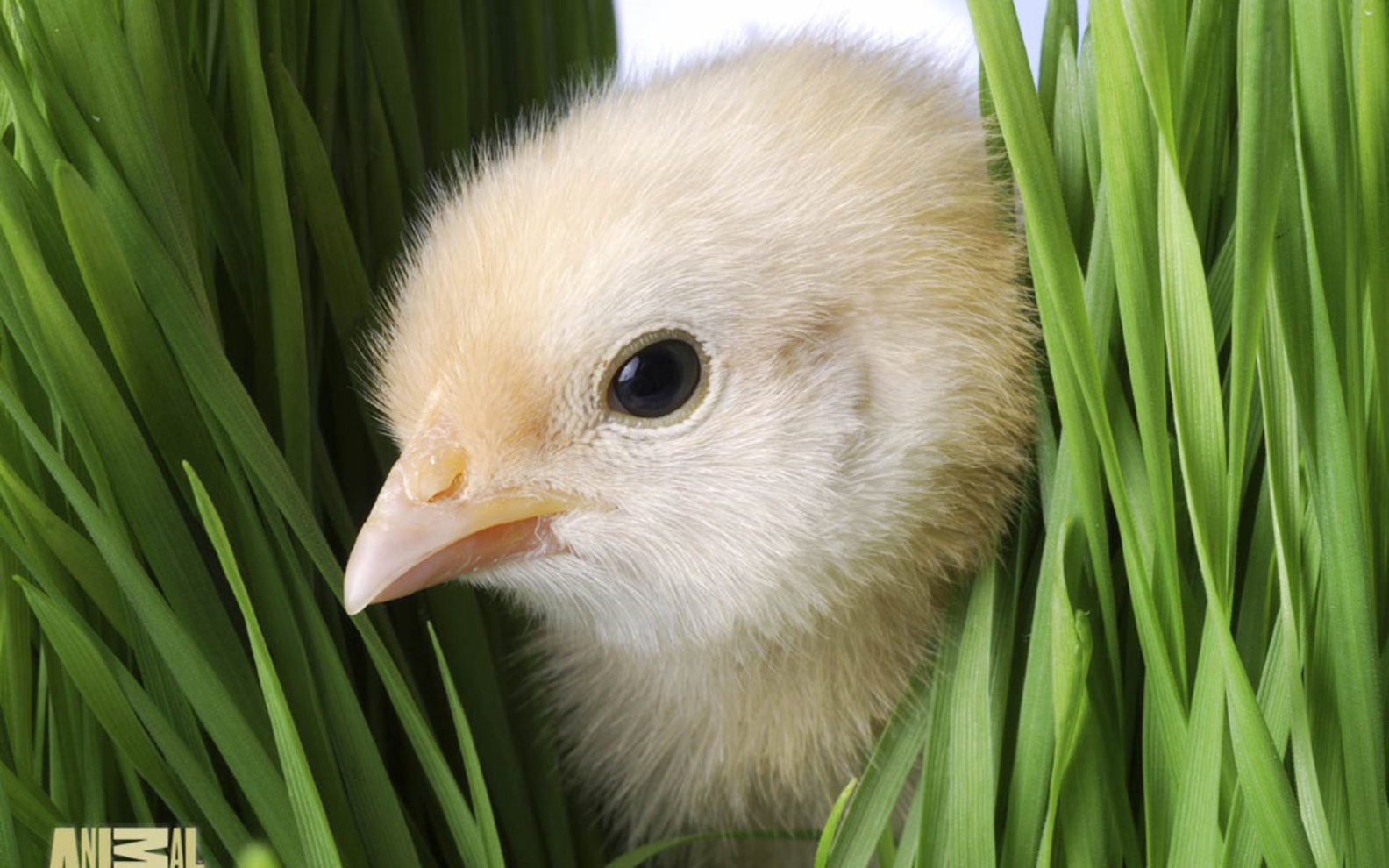 Free Cute Easter Day Chick Picture wallpapers Wallpapers