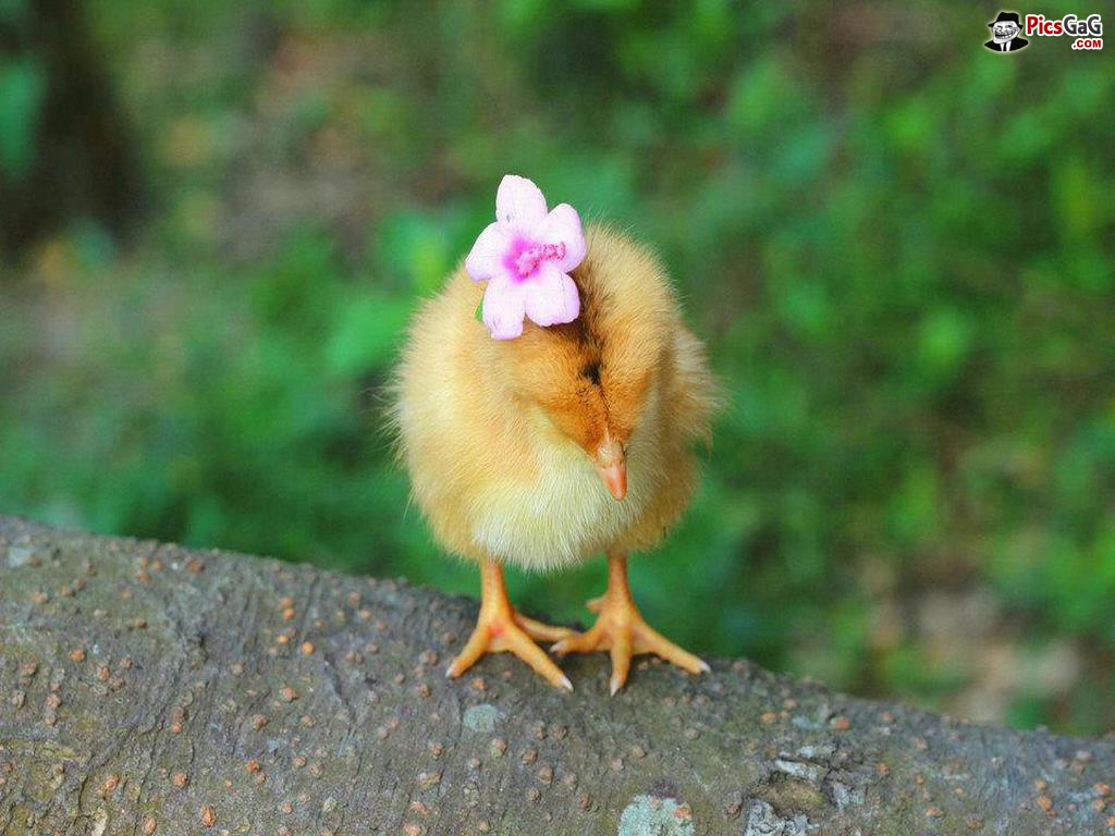 45+] Baby Chicks Wallpapers