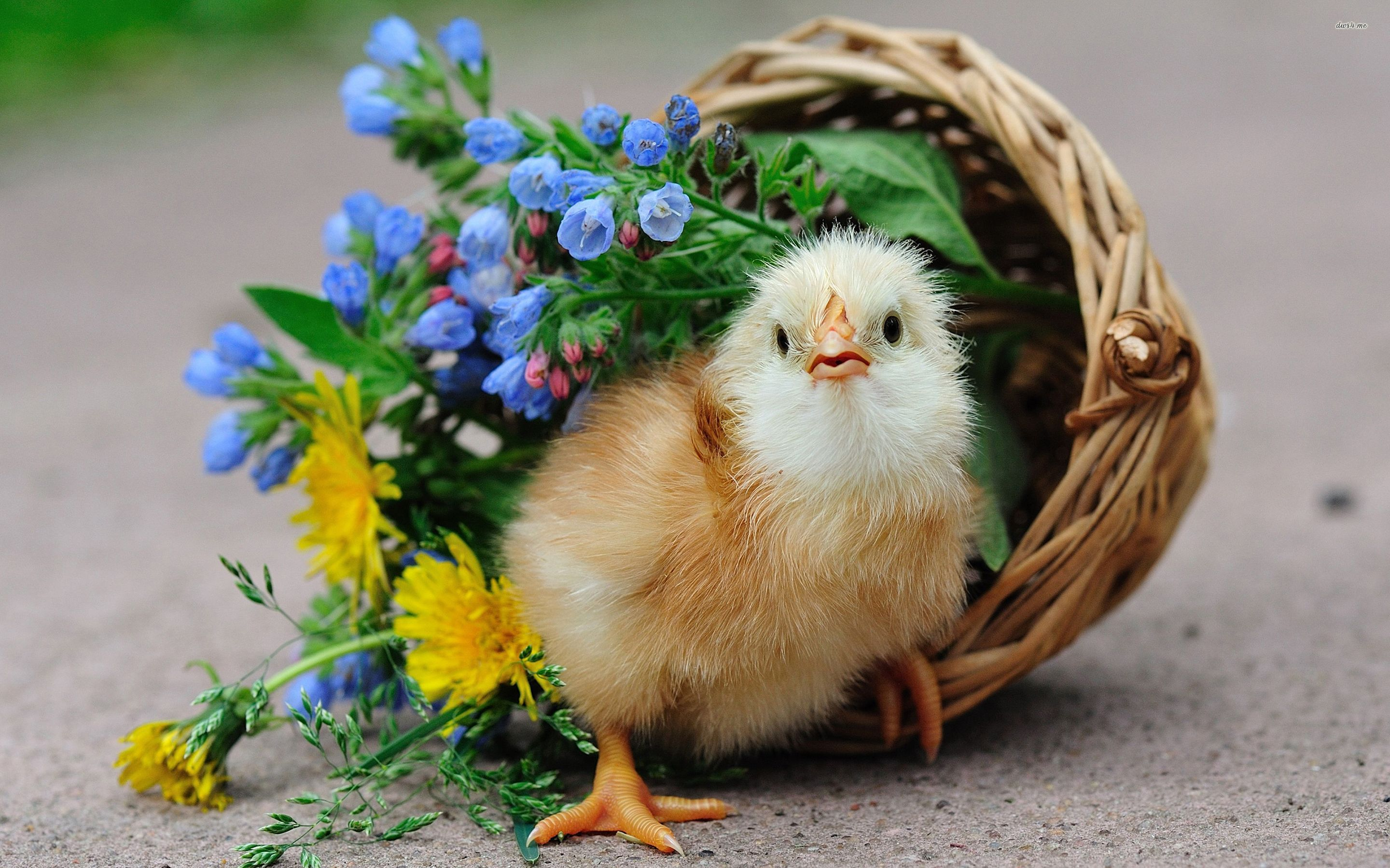 Chick in a floral basket wallpapers