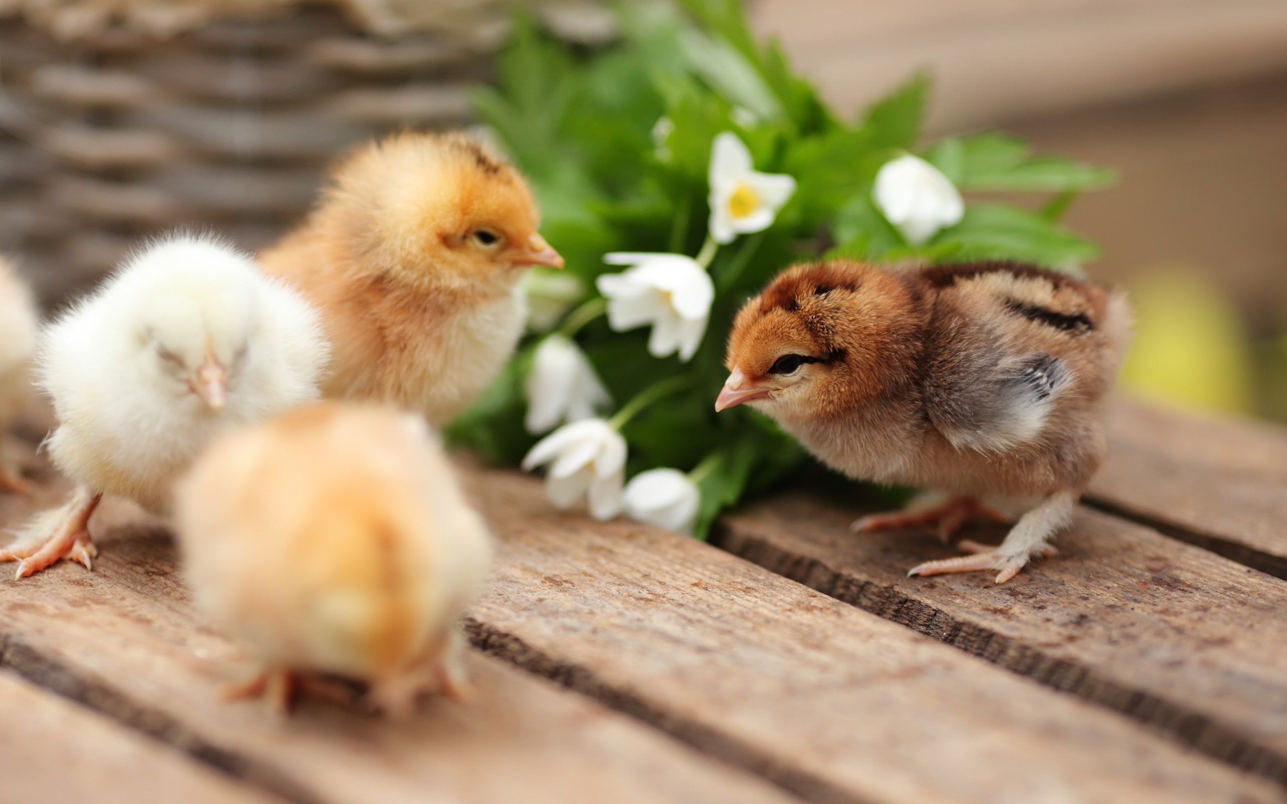 Download wallpapers Chickens, small birds, spring, cute