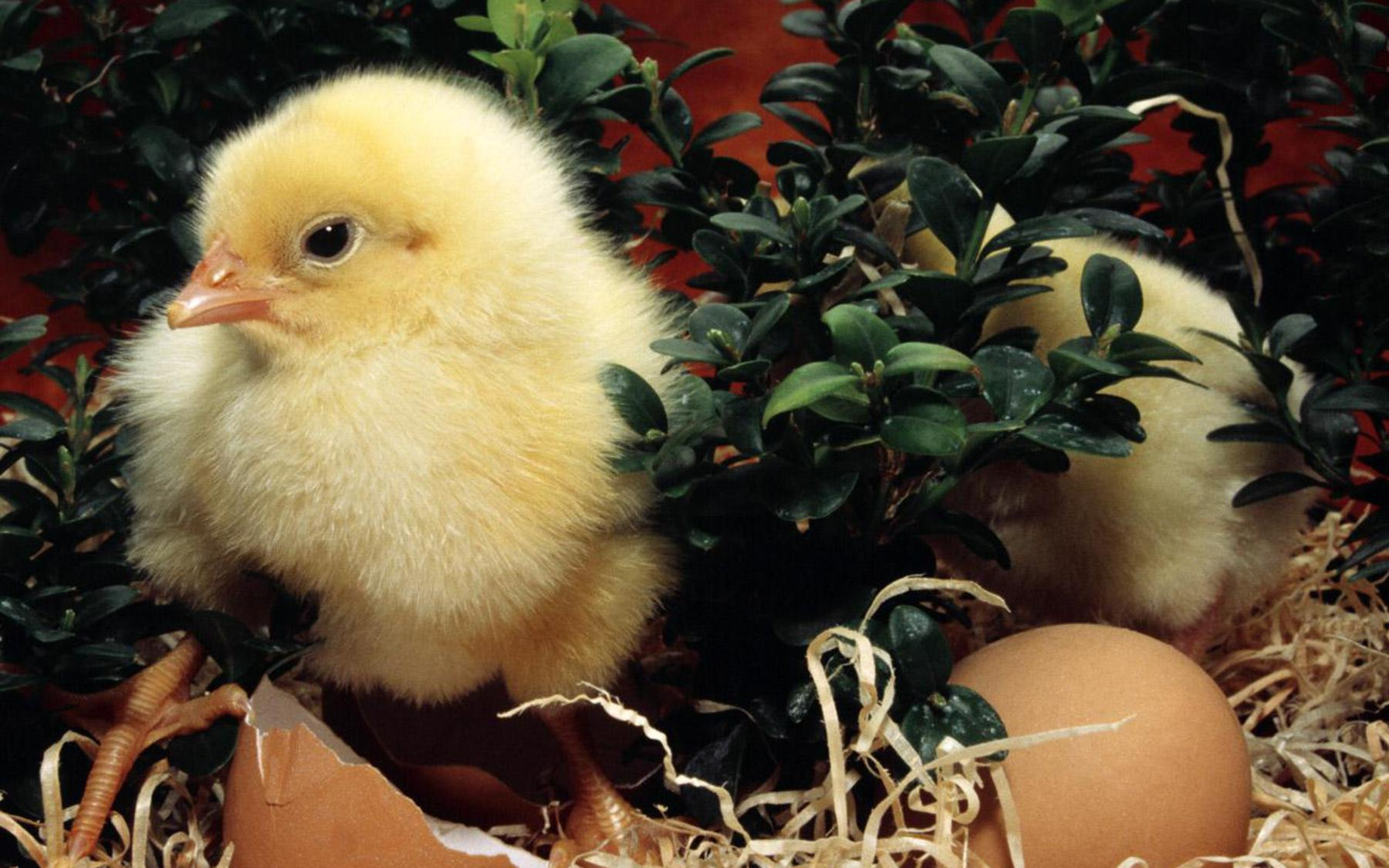 Free New Born Easter Day Chick Picture wallpapers Wallpapers