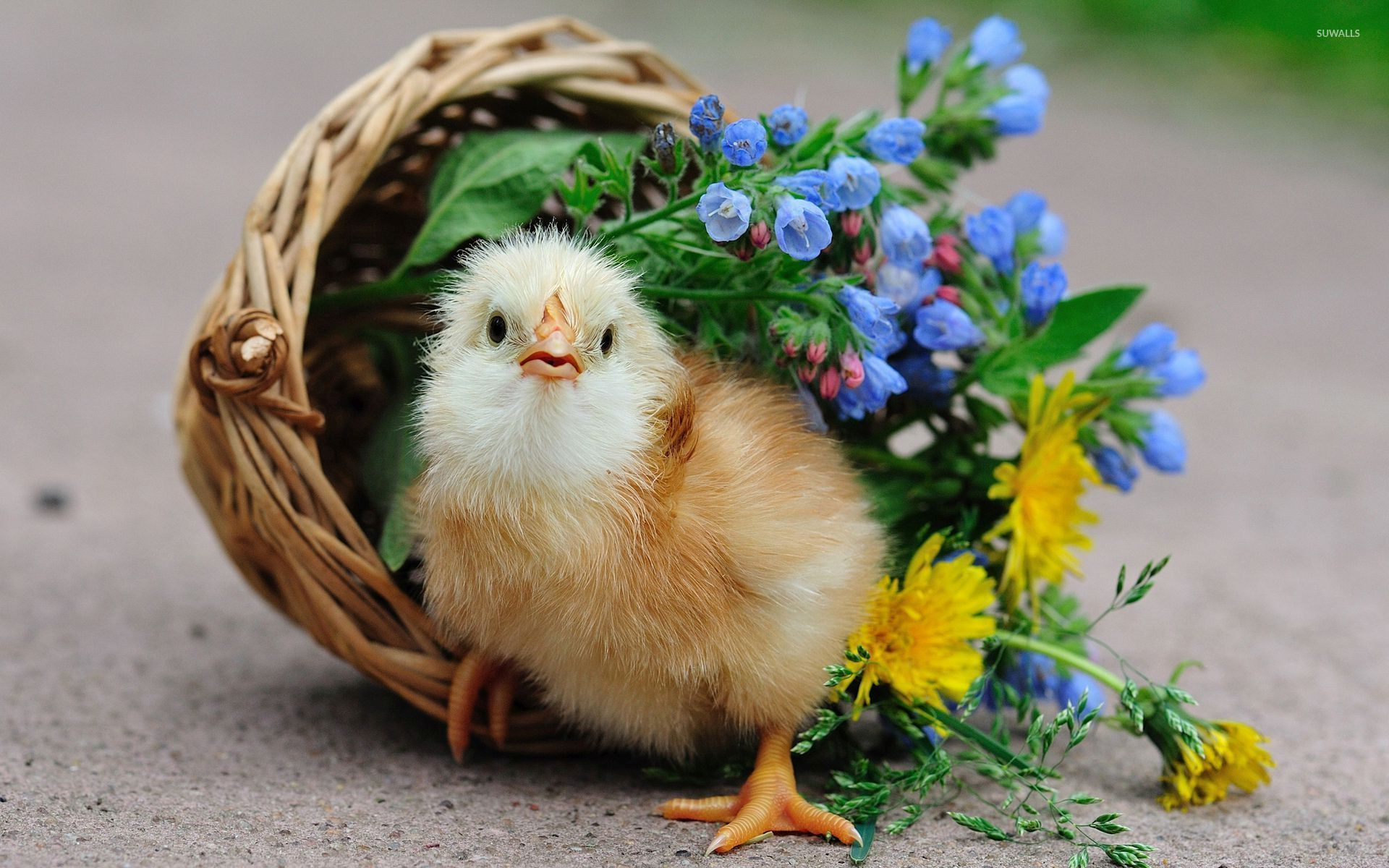Chick in the basket wallpapers