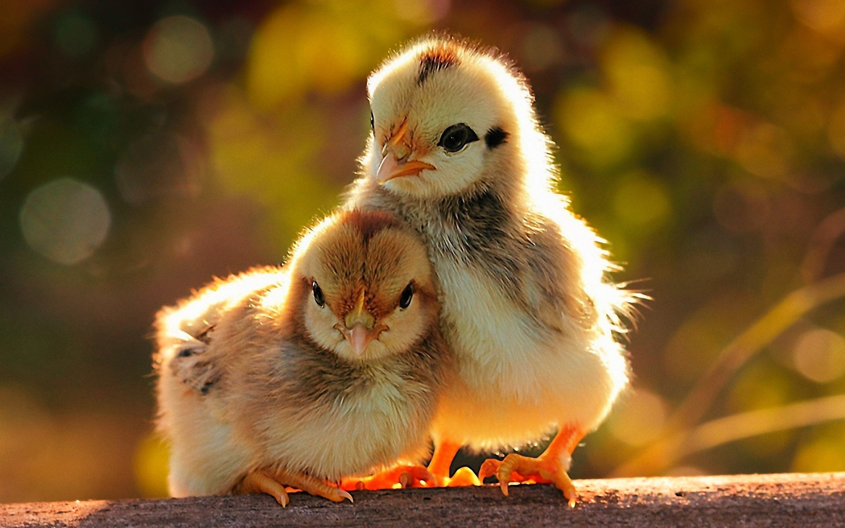 Chick HD Wallpapers