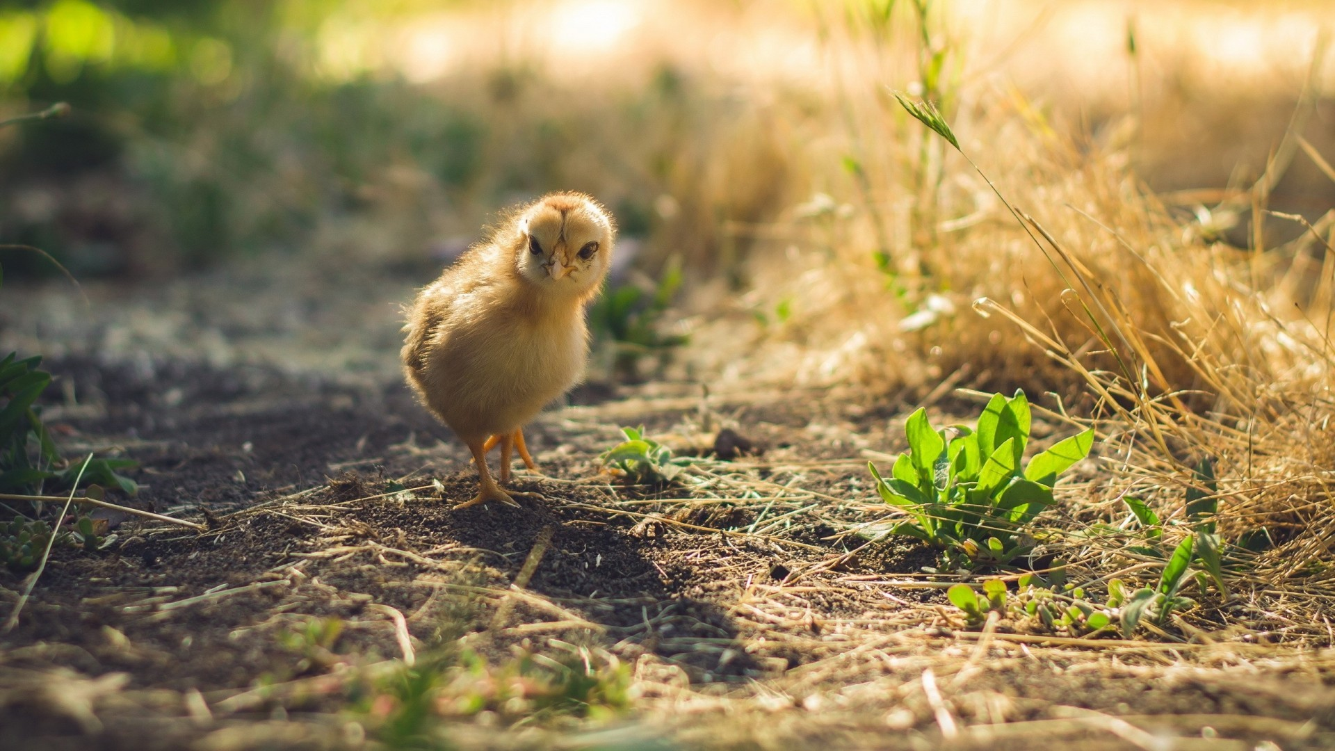 Download 1920x1080 Chick, Walking, Plants, Baby Wallpapers
