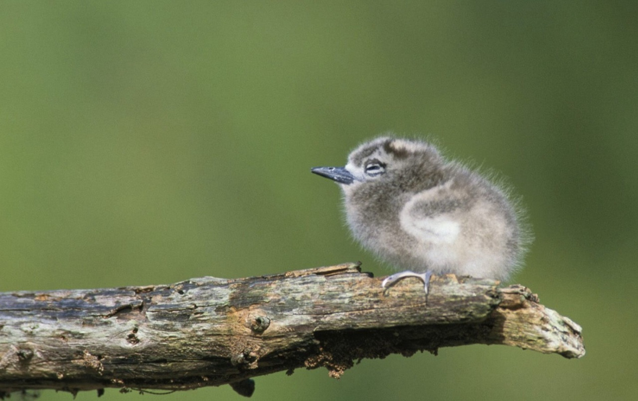 Tern Chick wallpapers