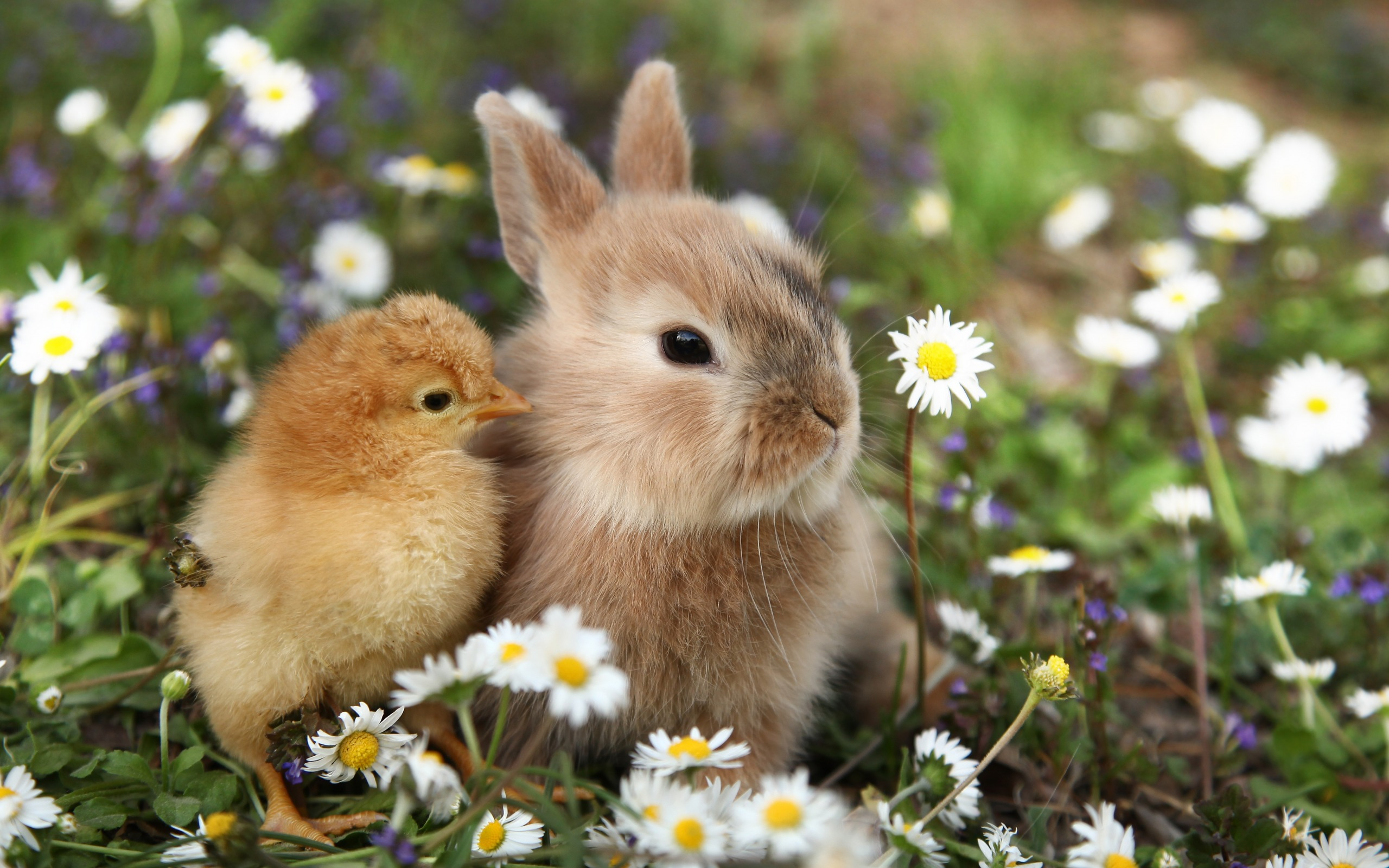 Download wallpapers cute animals, rabbit, little chick