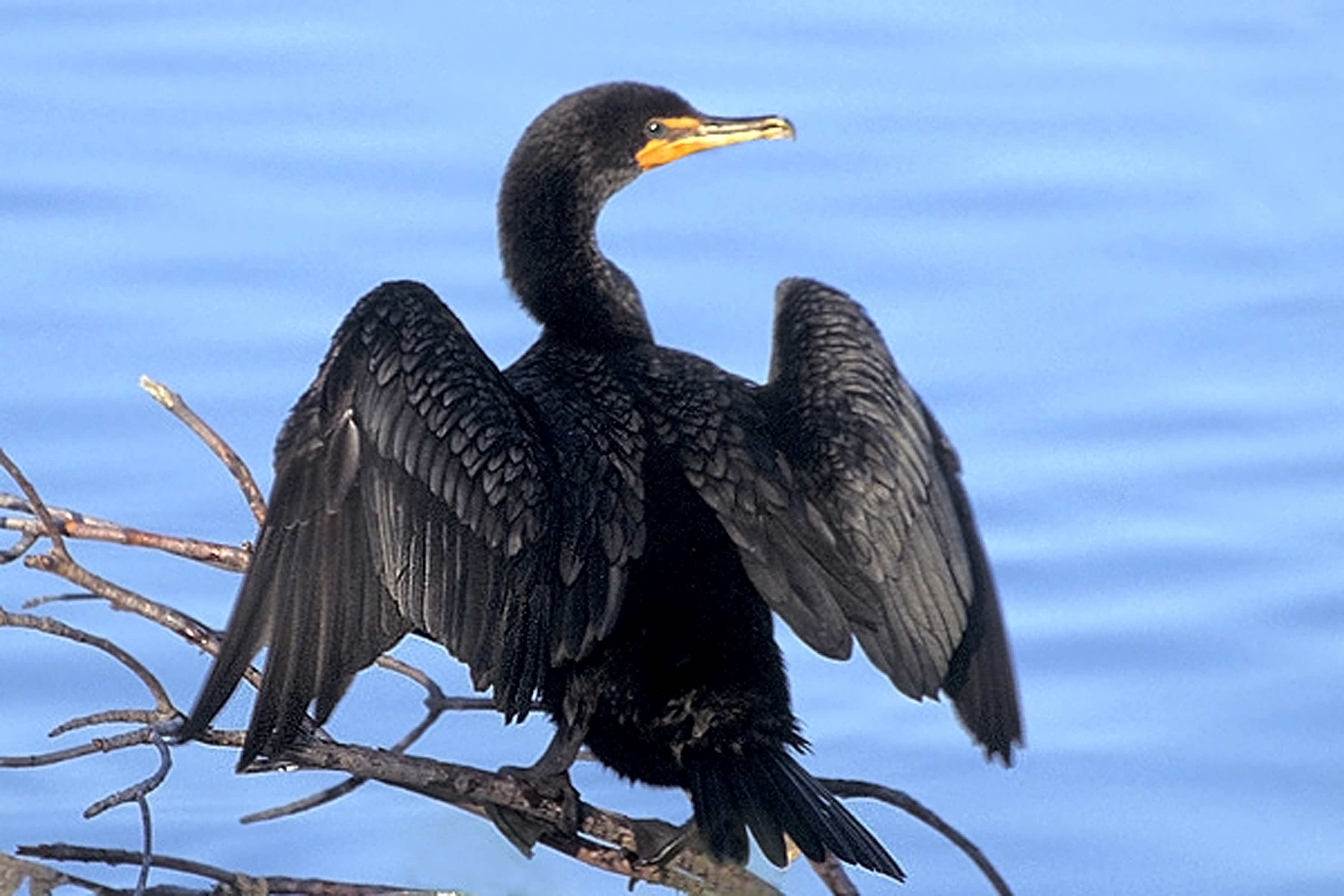 Cormorant Wallpapers High Quality