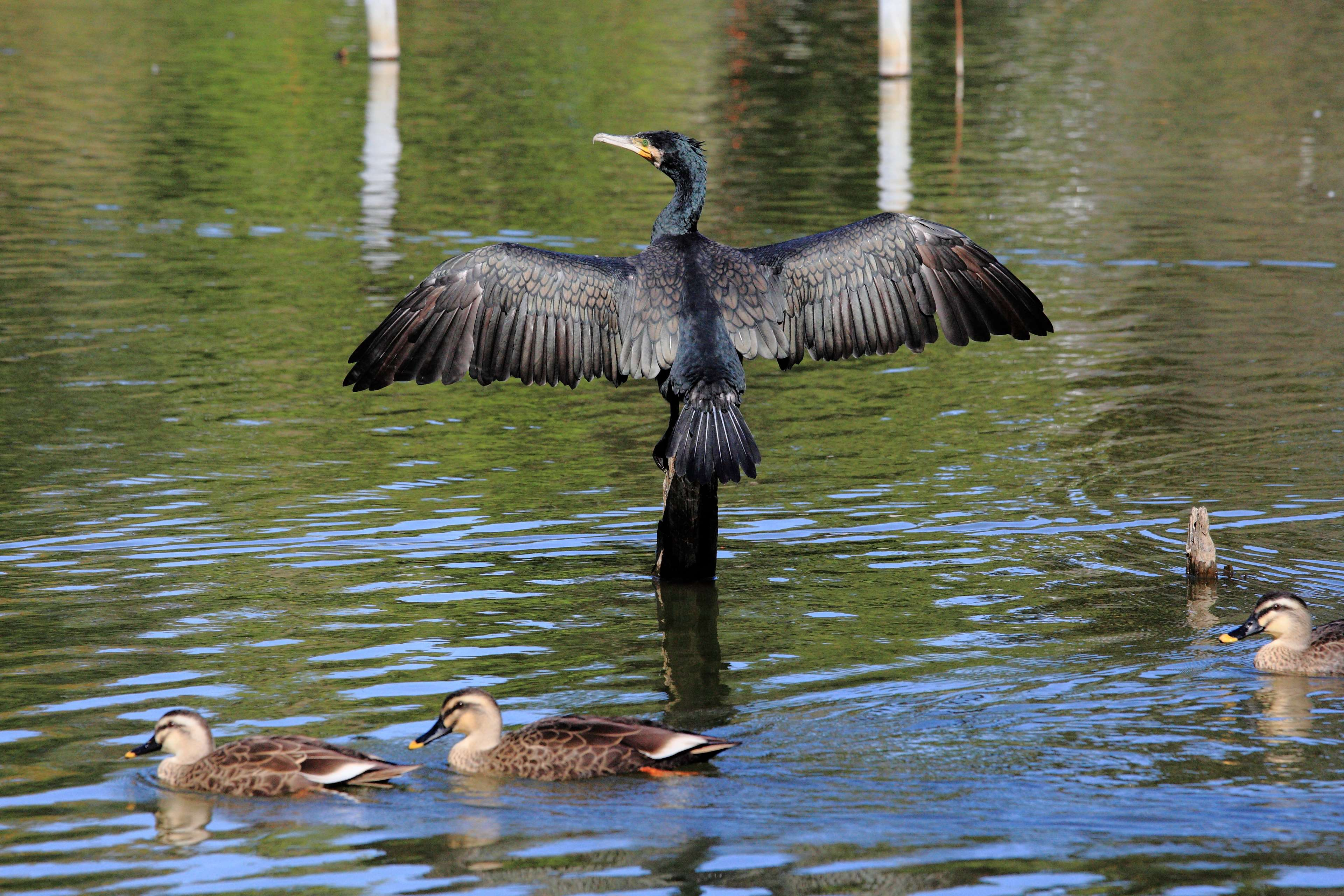 bird, cormorant, duck, lake, pond, water 4k wallpapers and