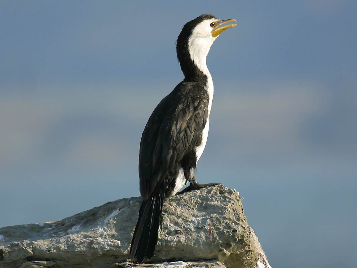 Cormorant Wallpapers and backgrounds