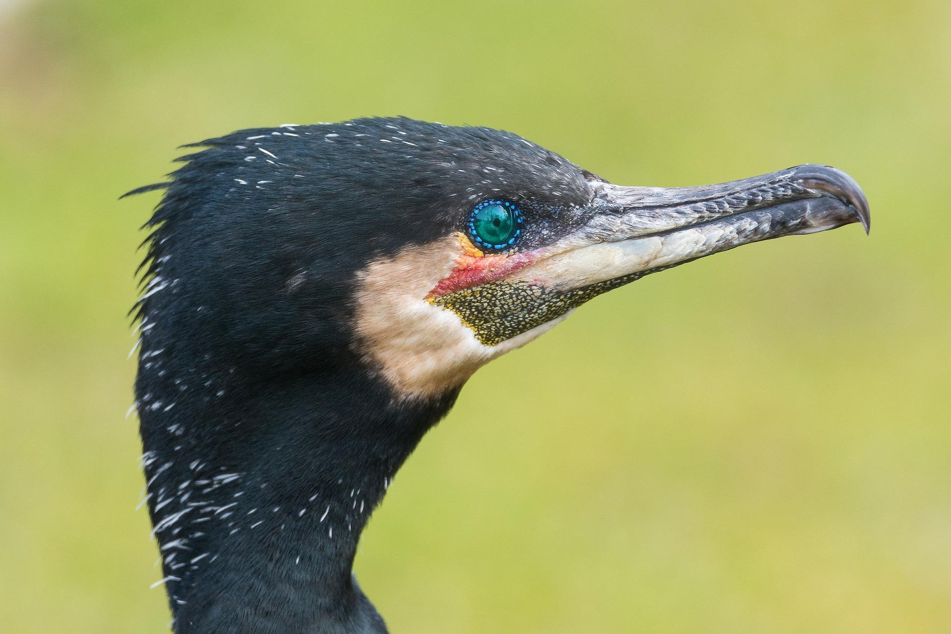 Cormorant Wallpapers HD for Android