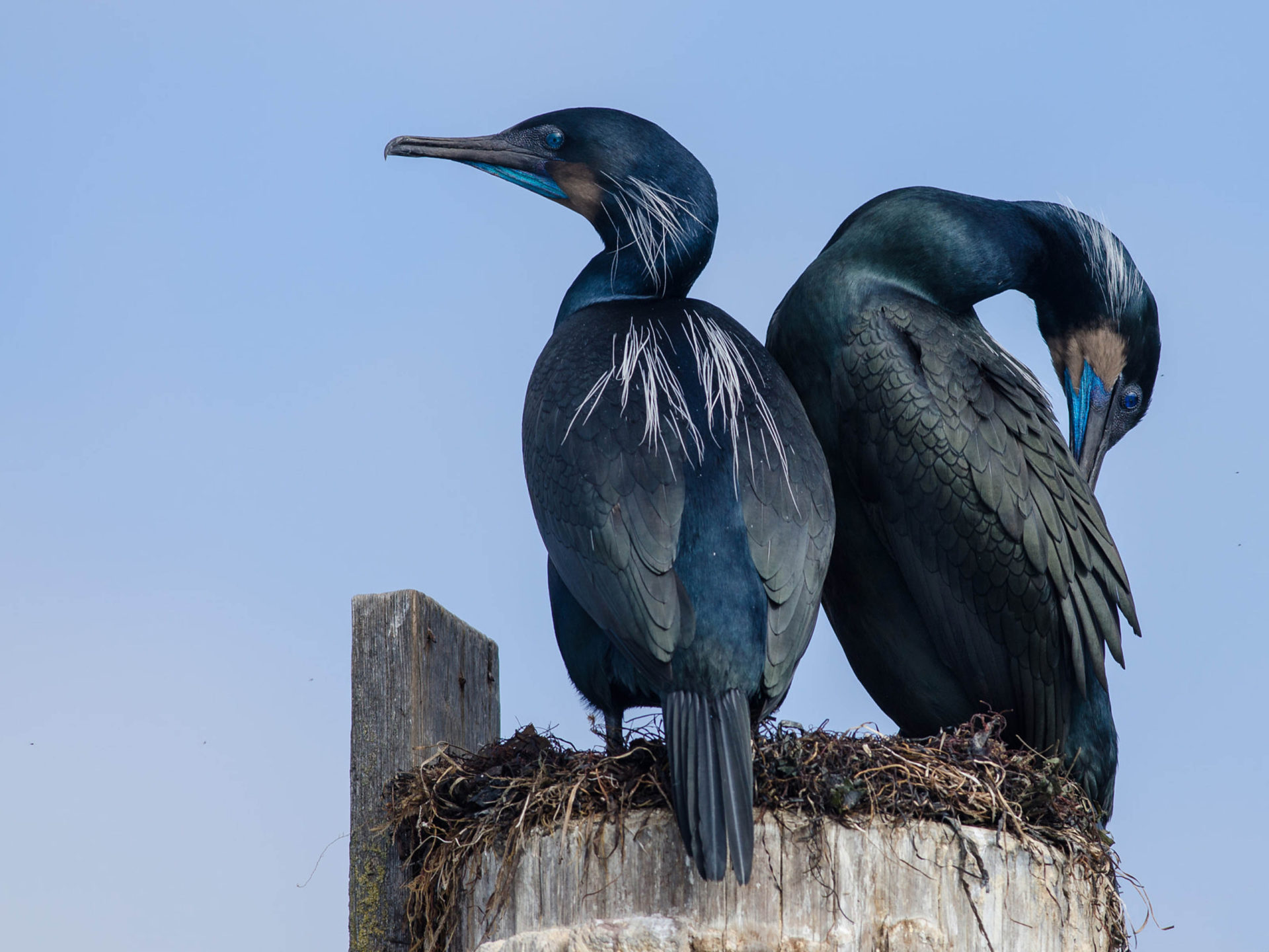 Brandt's Cormorants Camping Out At Their Nest In Elkhorn