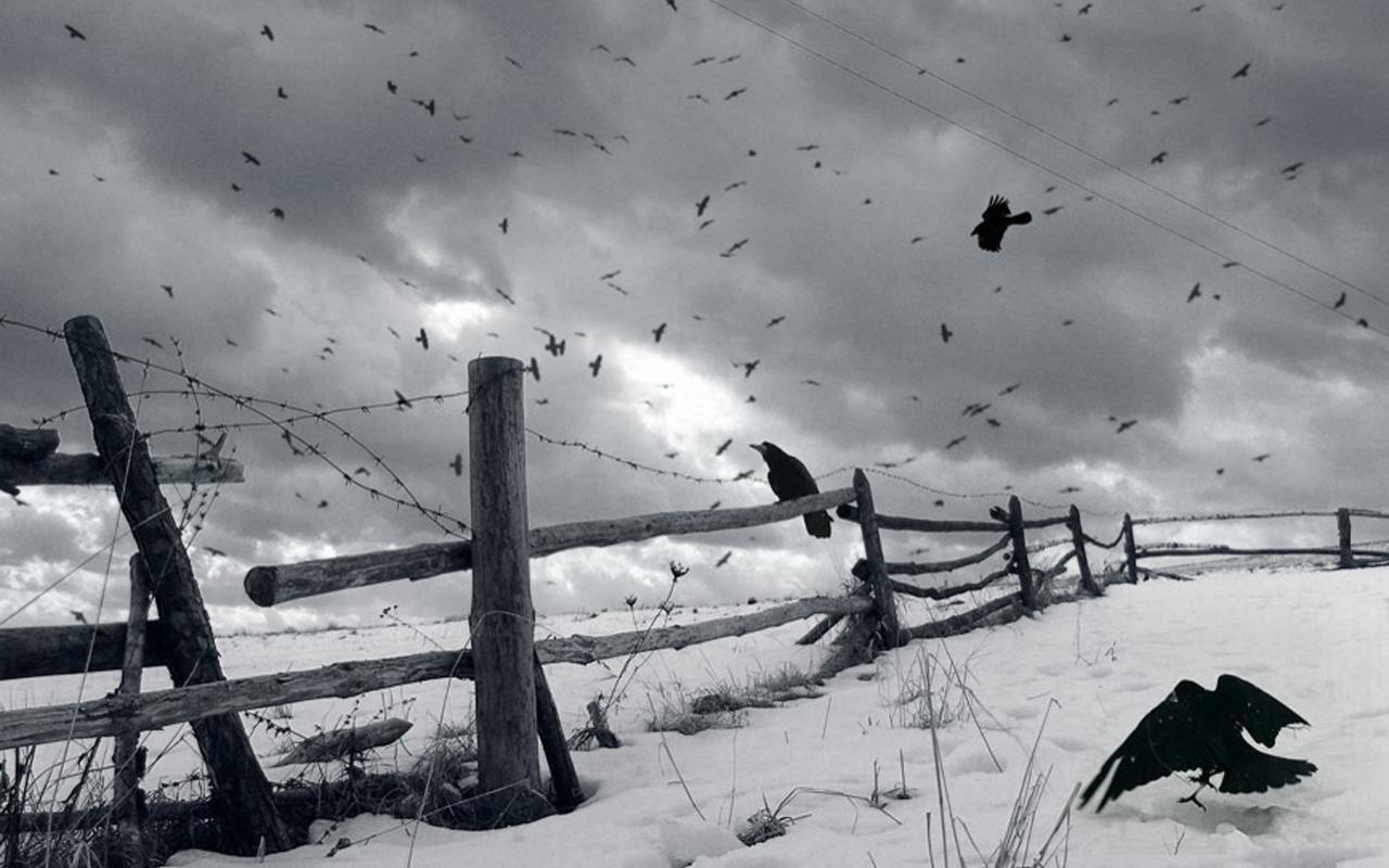 Crows wallpapers