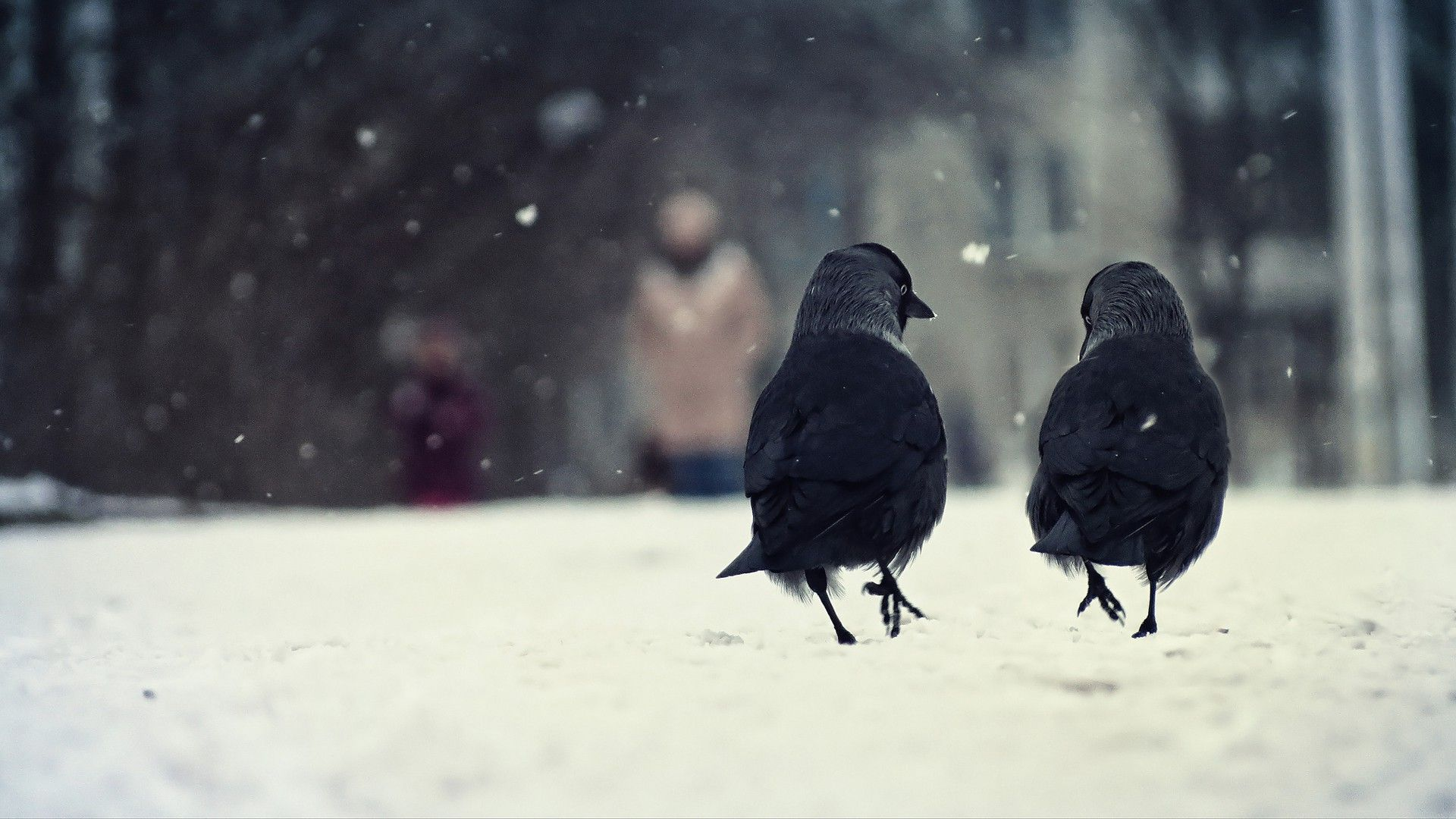 HD Crows Backgrounds