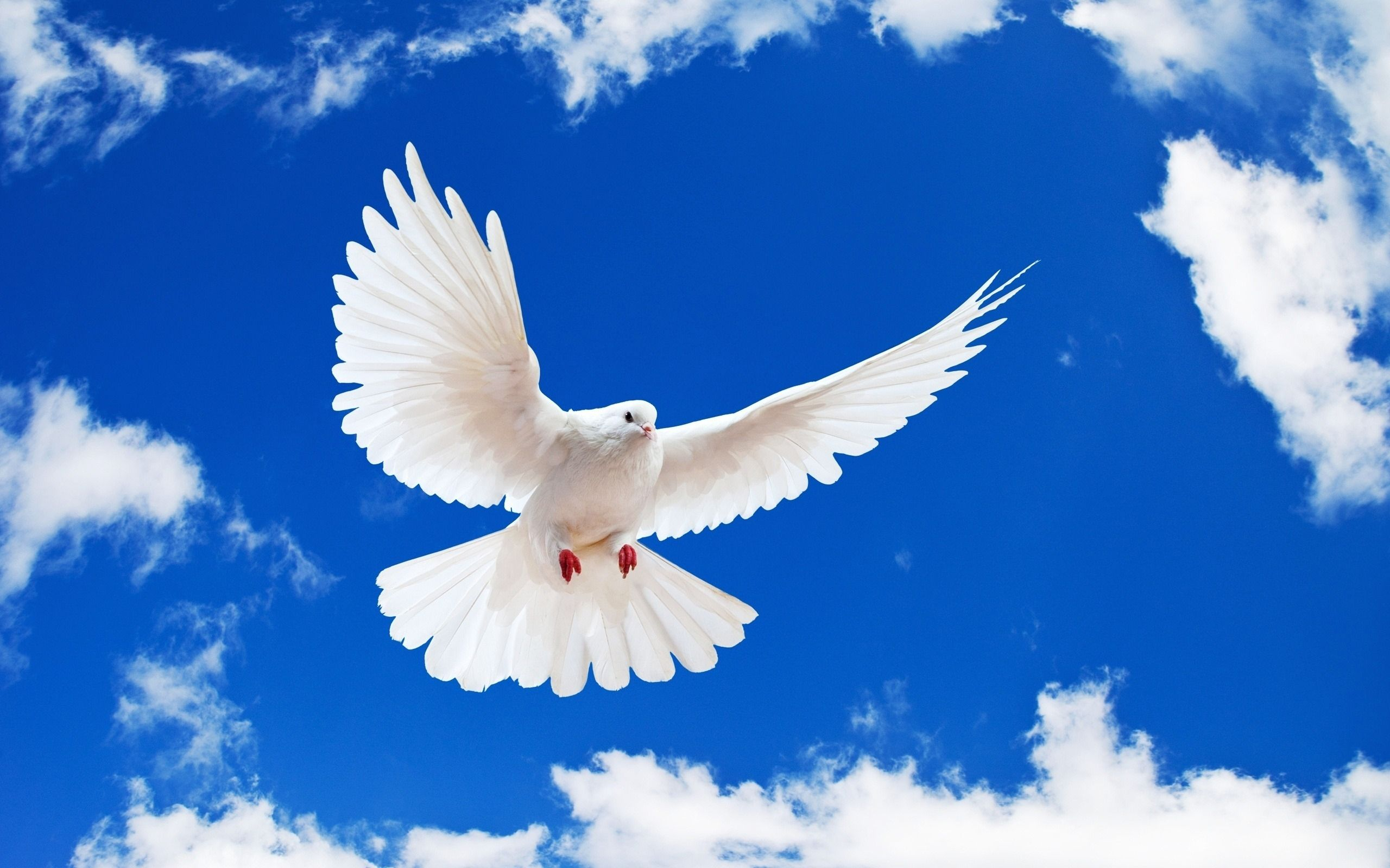 51 Dove HD Wallpapers