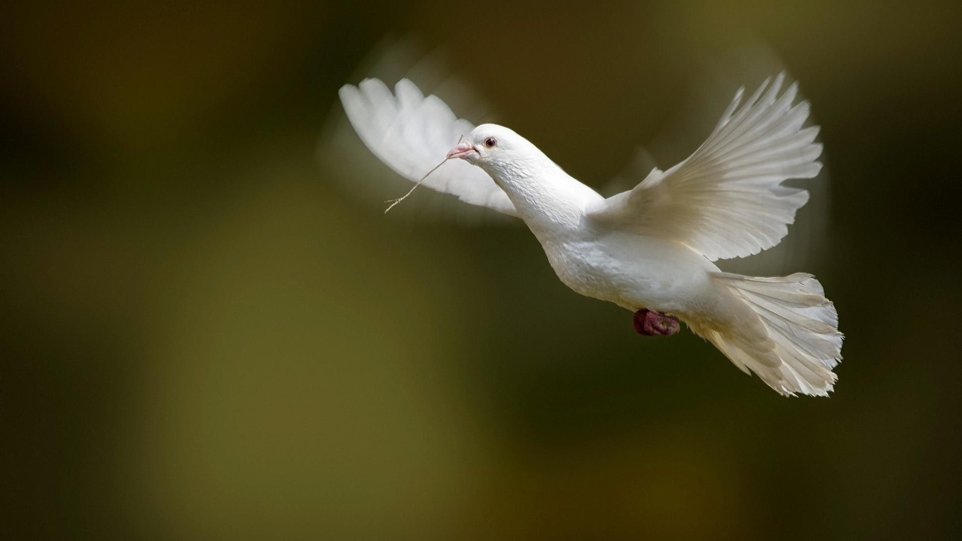 Doves dove wallpapers