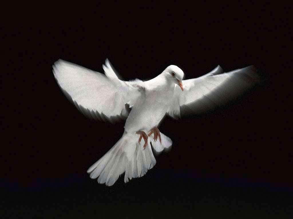 Dove Wallpapers 8676 Wallpapers HD