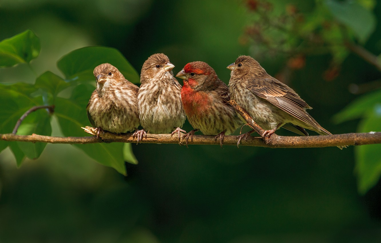 Wallpapers birds, branch, family, finches image for desktop