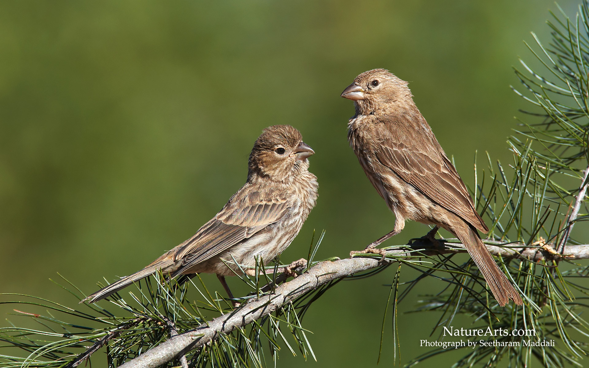 Best 53+ House Finch Wallpapers on HipWallpapers