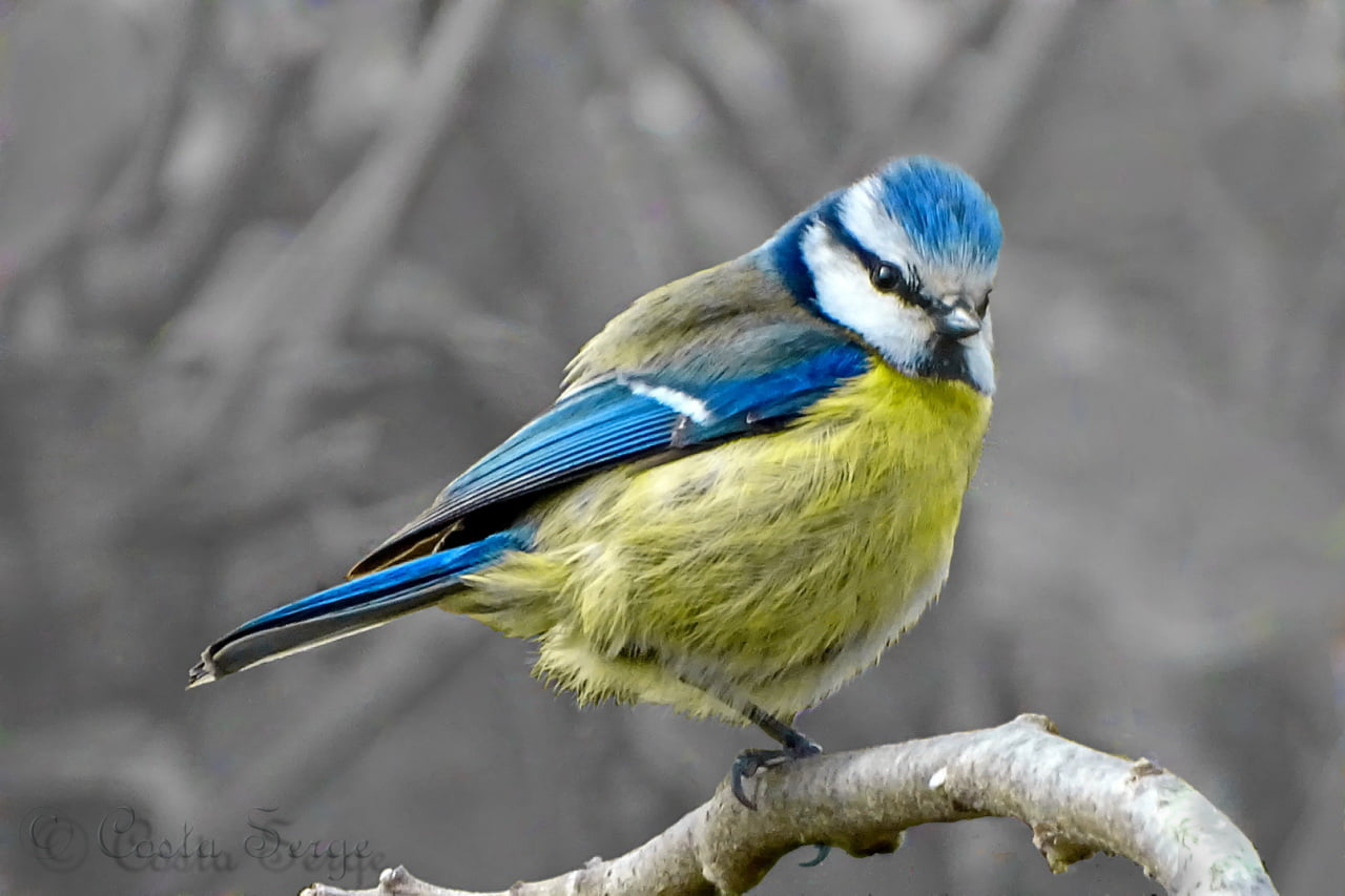 Blue, white, and yellow Finch HD wallpapers