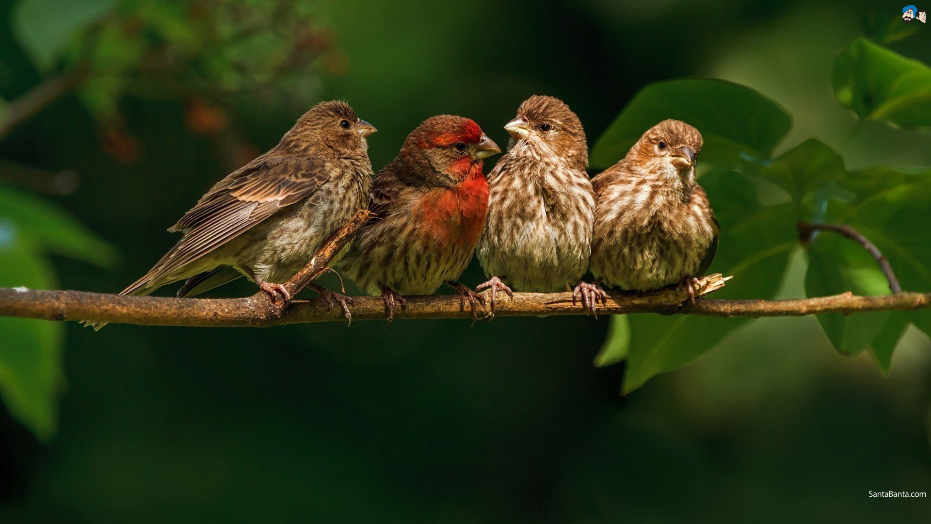 finch, Bird, Finches, 8 Wallpapers HD / Desktop and Mobile