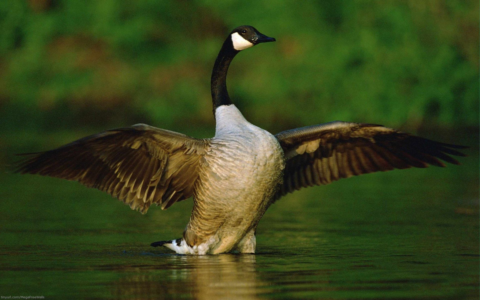 Goose Full HD Wallpapers and Backgrounds