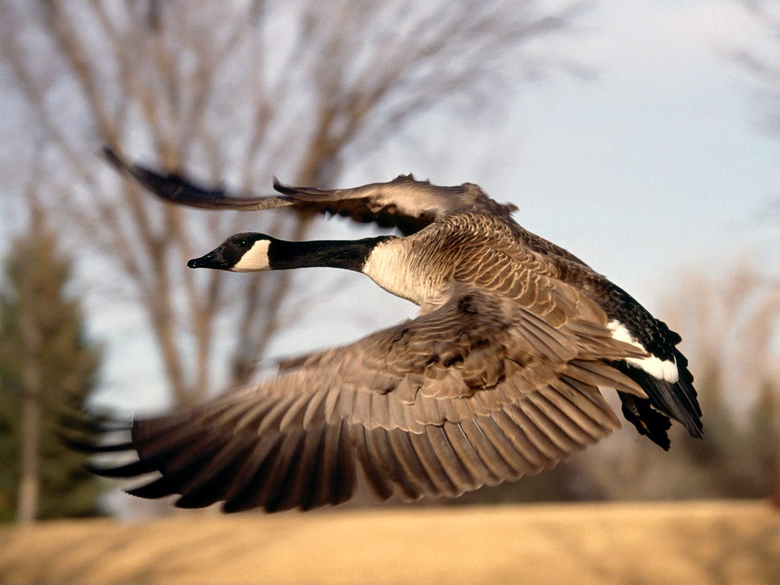 goose Wallpapers and Backgrounds