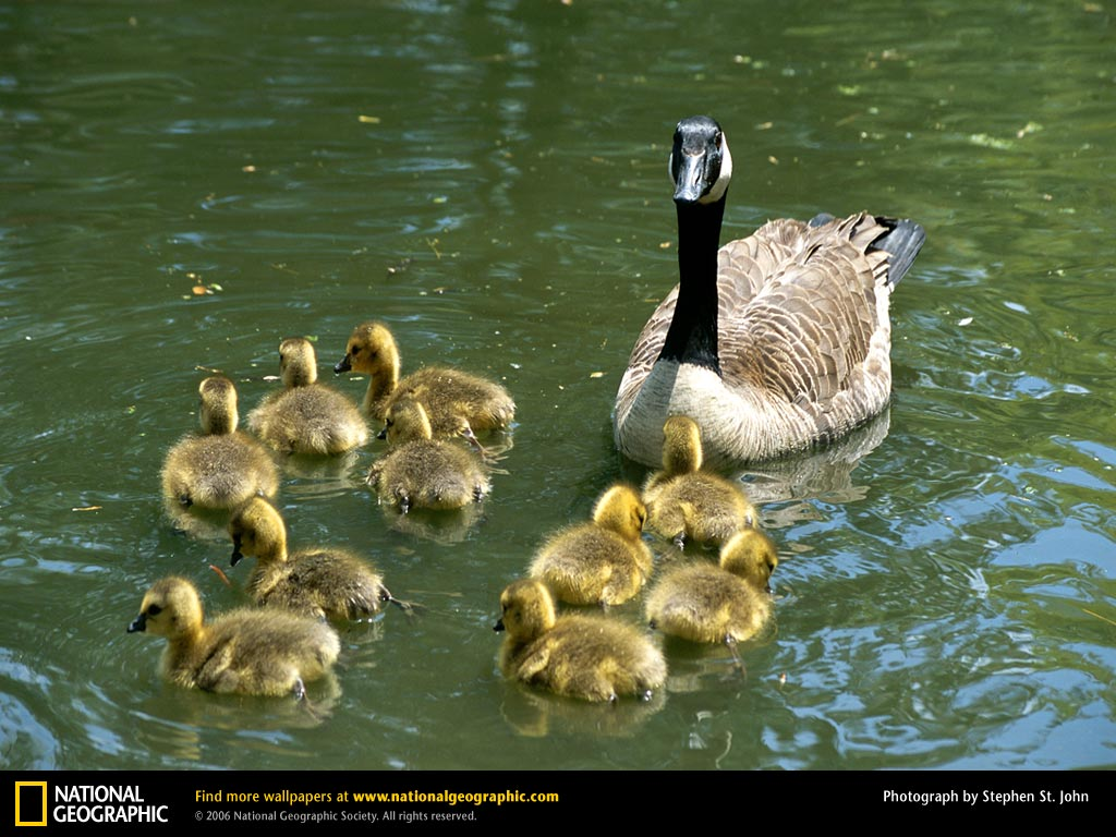 Canada Geese Picture, Canada Geese Desktop Wallpaper, Free