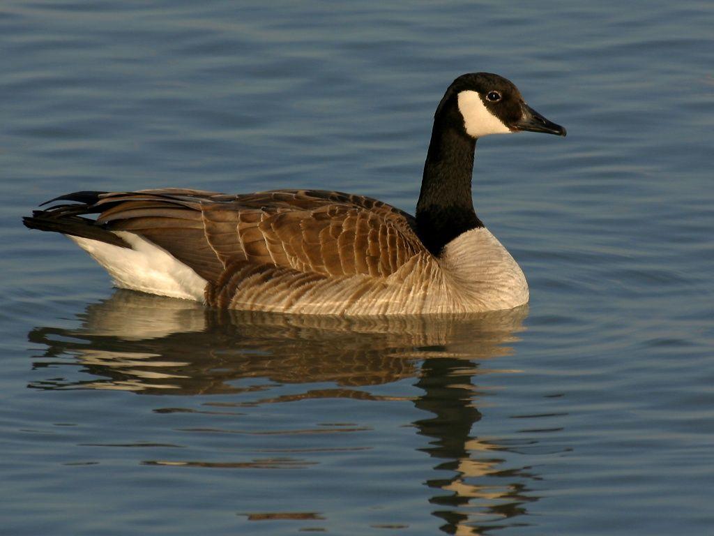 HD Canada Goose Wallpapers and Photos