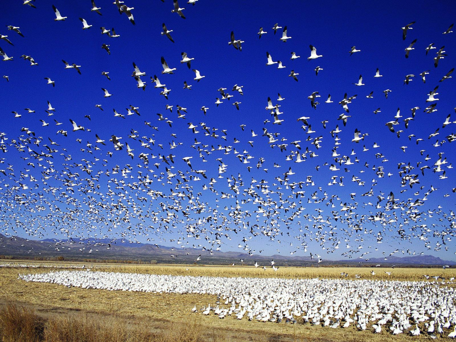 Snow Goose Wallpapers, Collection of Snow Goose Backgrounds, Snow