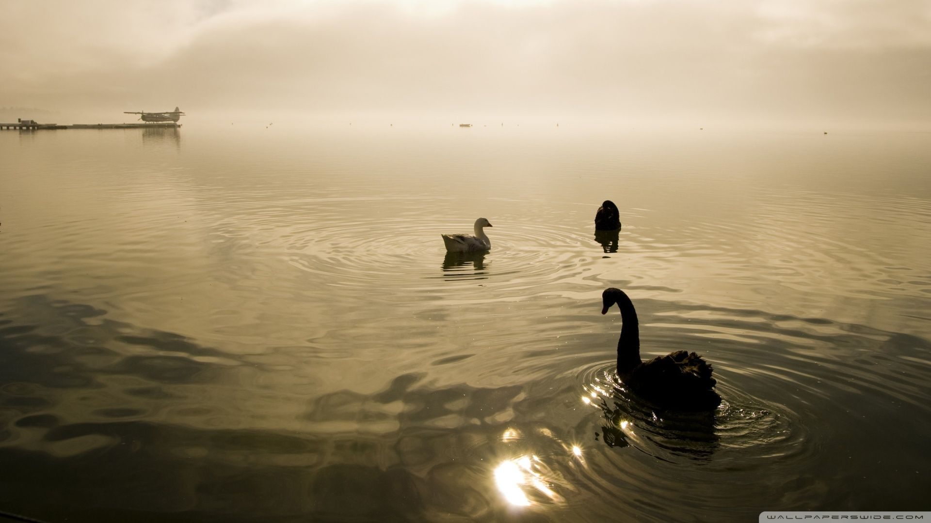 Two Swans And A Goose HD desktop wallpapers : High Definition