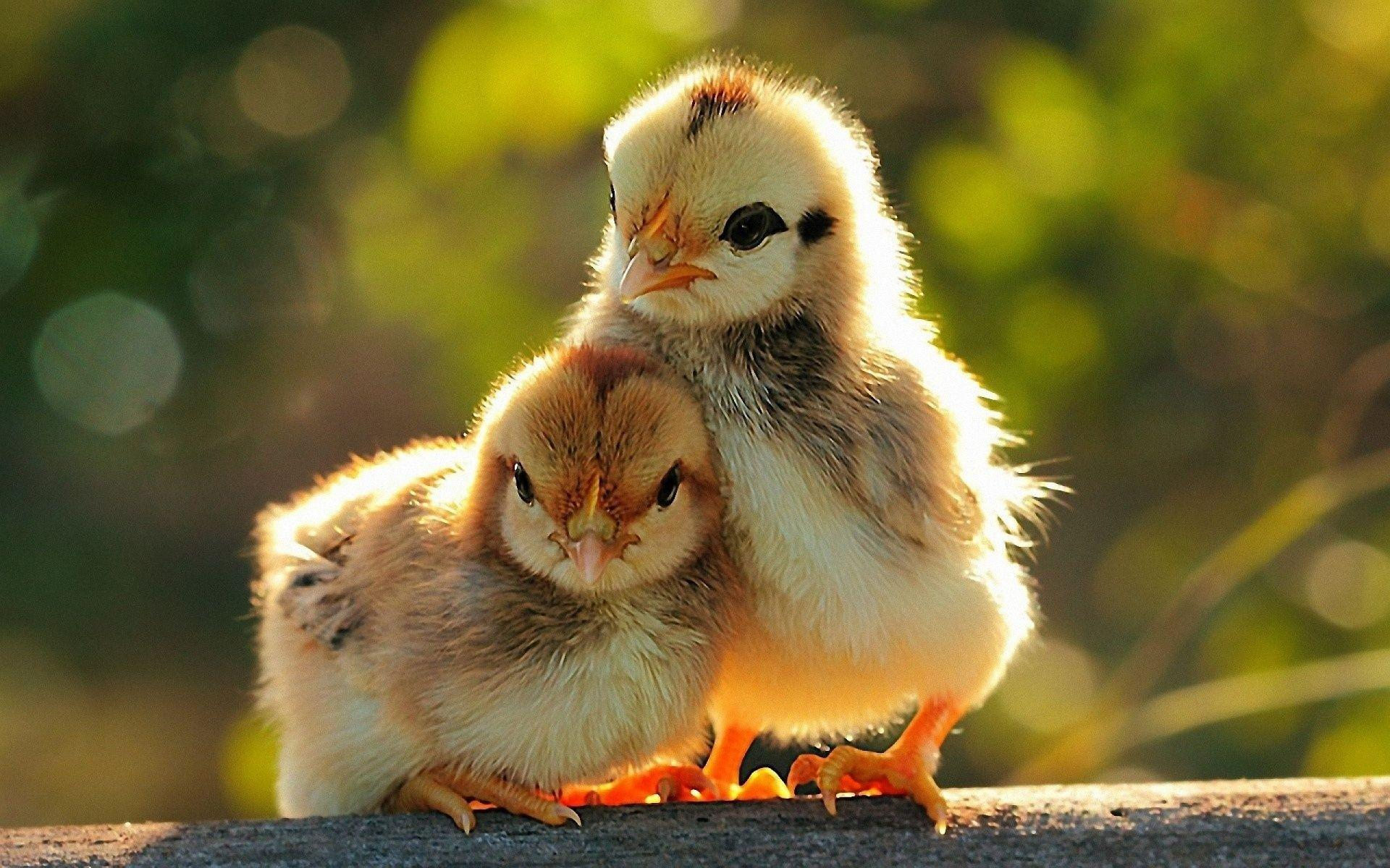 Birds Chicken HD Wallpapers Image And Photos Gallery Free Download