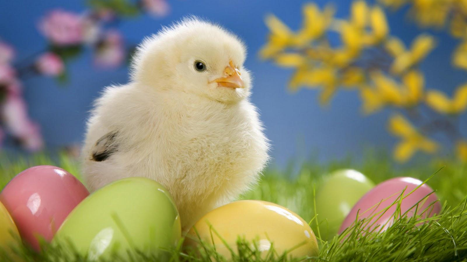Cute Hen Chick with Colorful Eggs Wallpapers