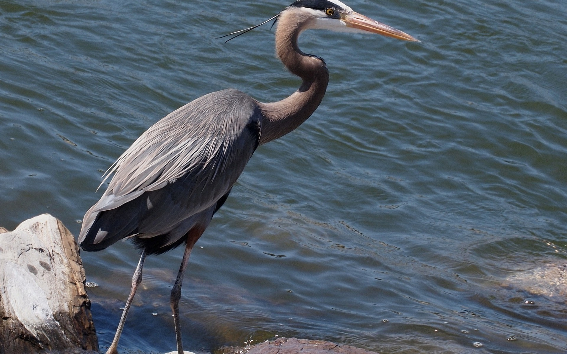 2927946 herons birds water wallpapers and backgrounds